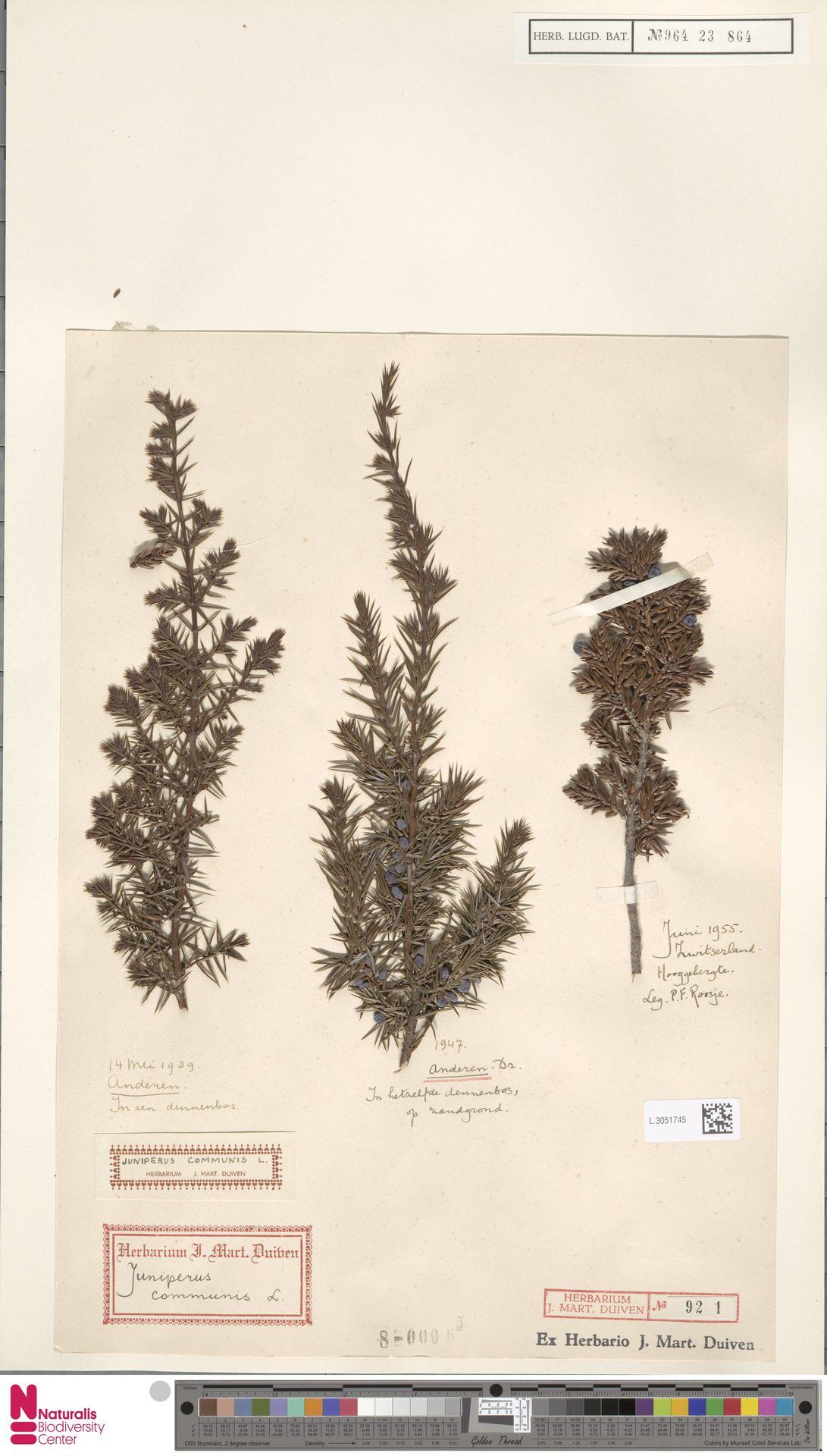 L.3051745 | Juniperus communis L.