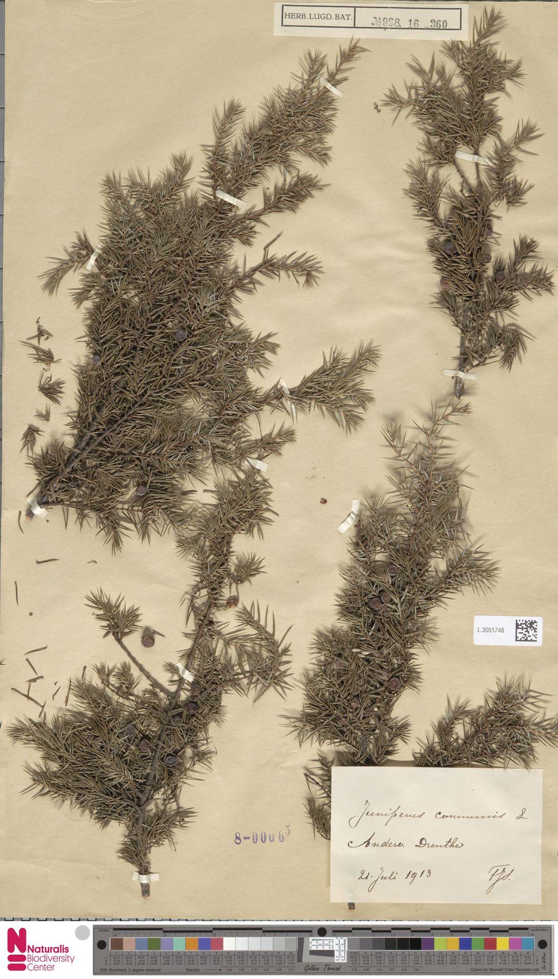 L.3051748   Juniperus communis L.