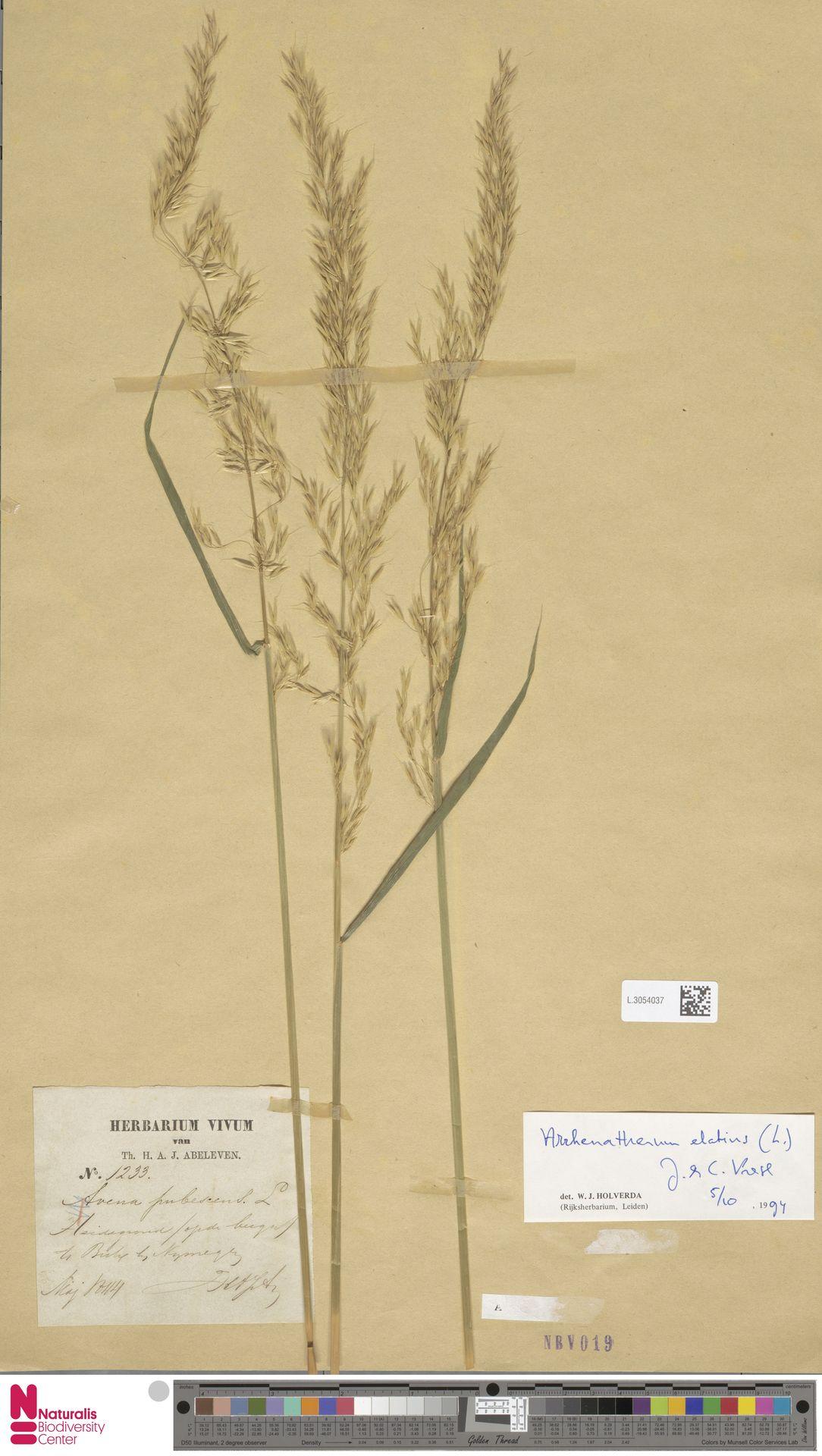 L.3054037 | Arrhenatherum elatius (L.) P.Beauv. ex J.Presl & C.Presl