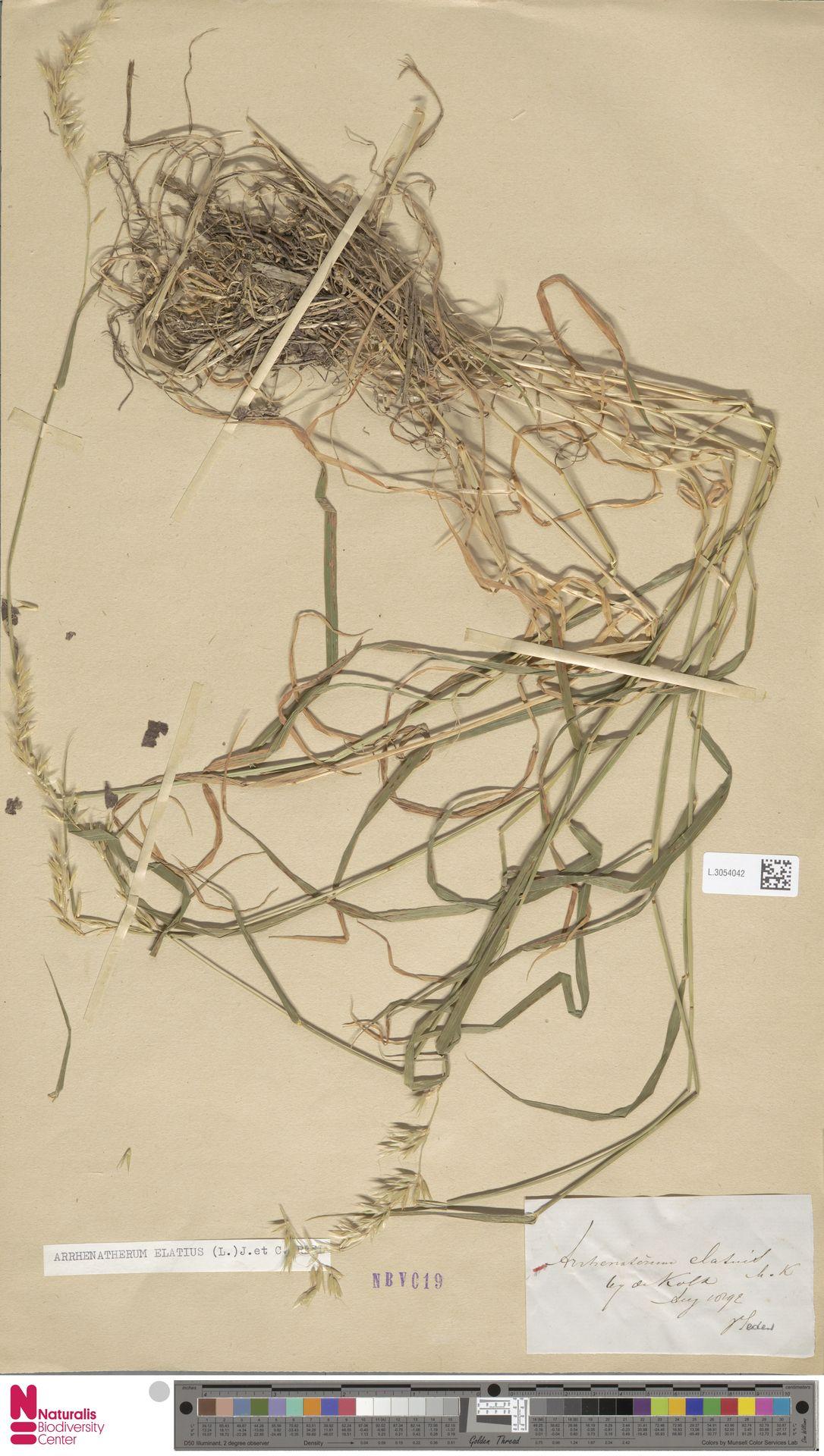 L.3054042 | Arrhenatherum elatius (L.) P.Beauv. ex J.Presl & C.Presl