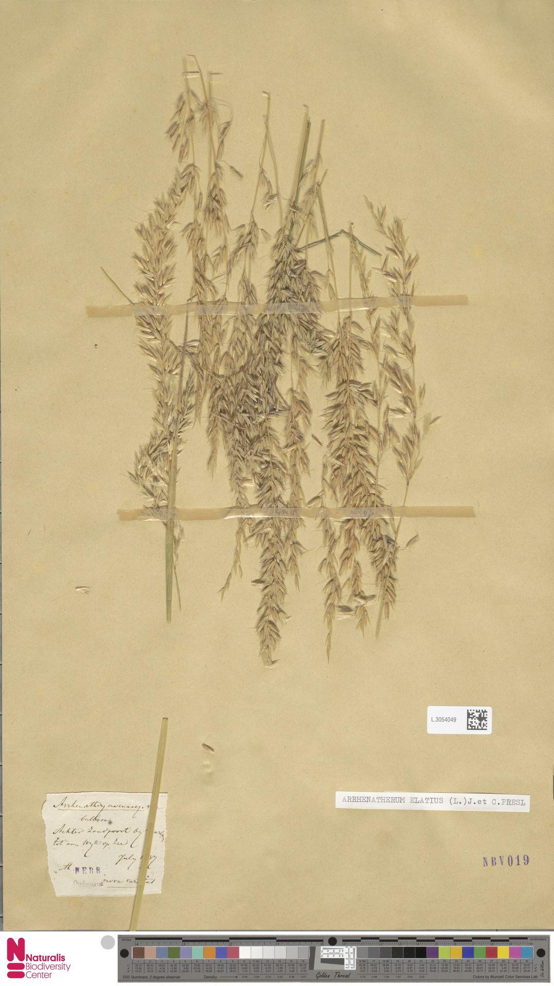 L.3054049 | Arrhenatherum elatius (L.) P.Beauv. ex J.Presl & C.Presl
