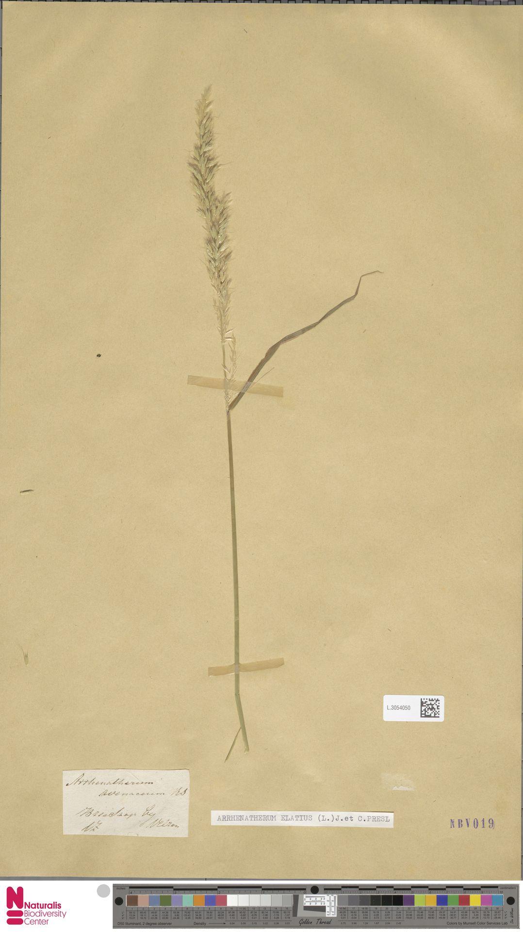 L.3054050 | Arrhenatherum elatius (L.) P.Beauv. ex J.Presl & C.Presl