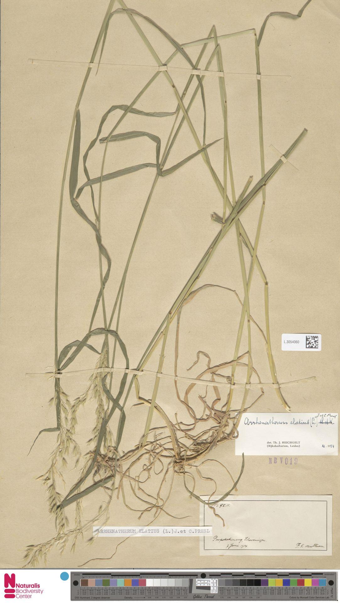 L.3054060 | Arrhenatherum elatius (L.) P.Beauv. ex J.Presl & C.Presl