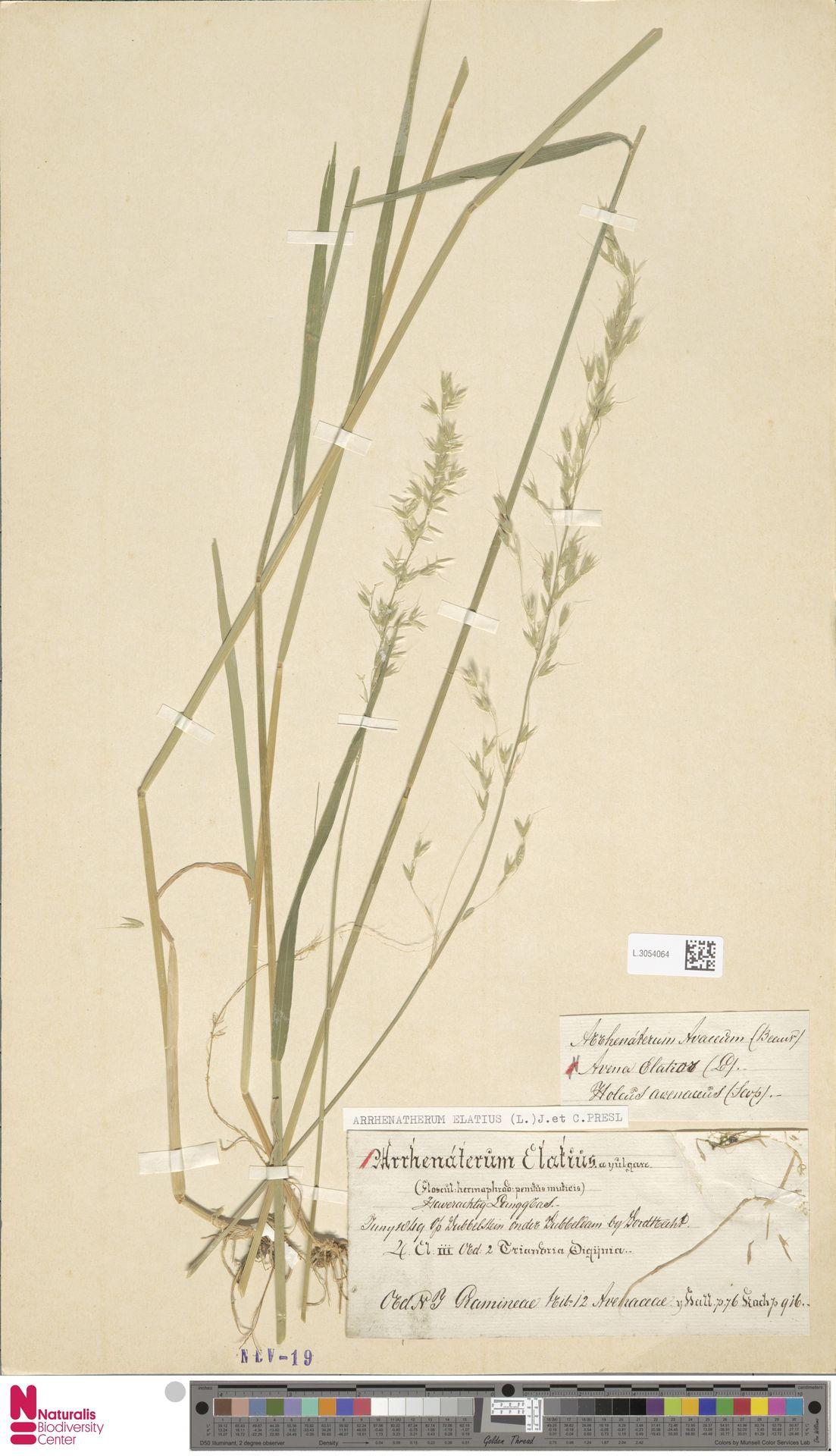 L.3054064   Arrhenatherum elatius (L.) P.Beauv. ex J.Presl & C.Presl