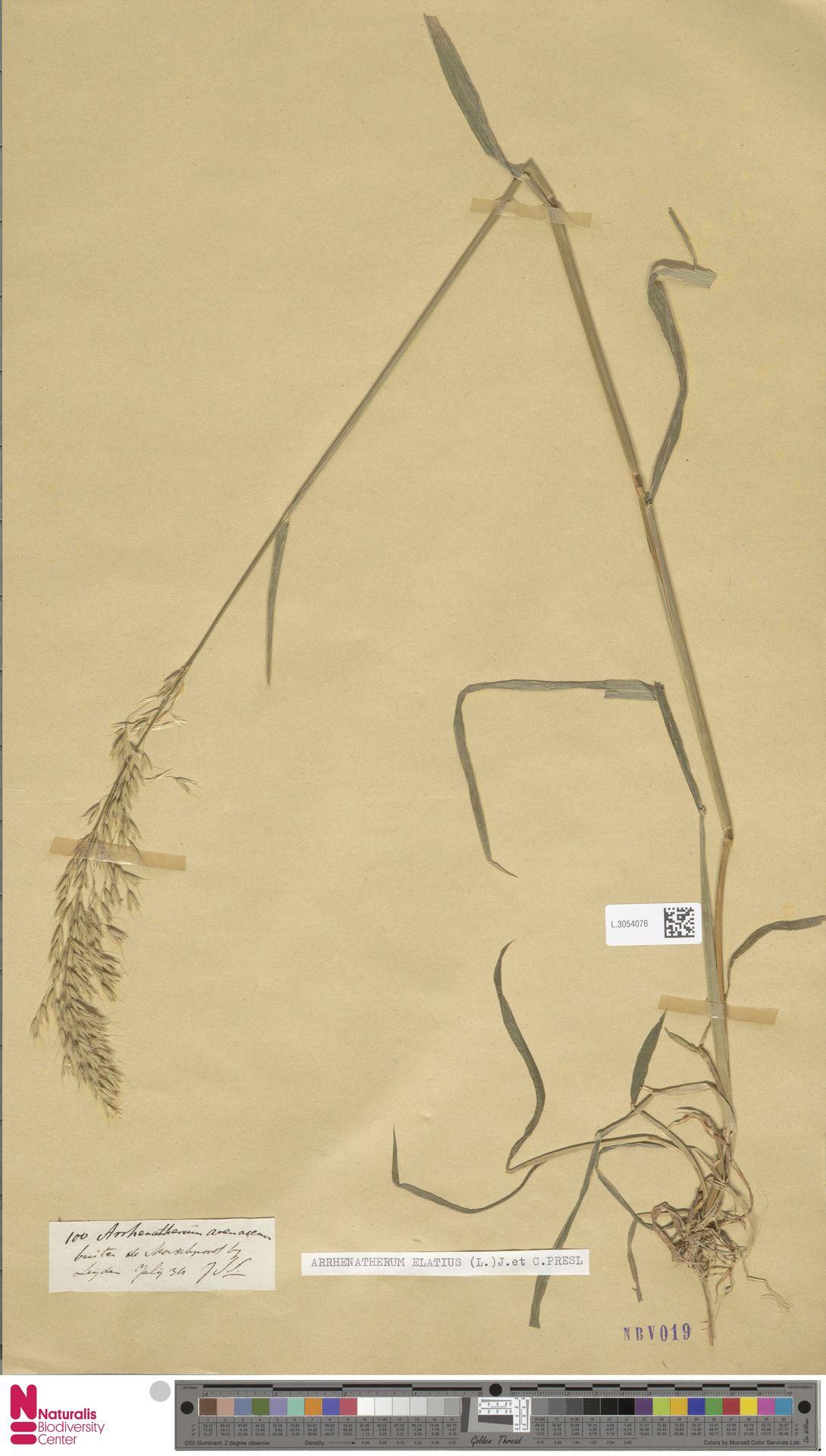L.3054076 | Arrhenatherum elatius (L.) P.Beauv. ex J.Presl & C.Presl