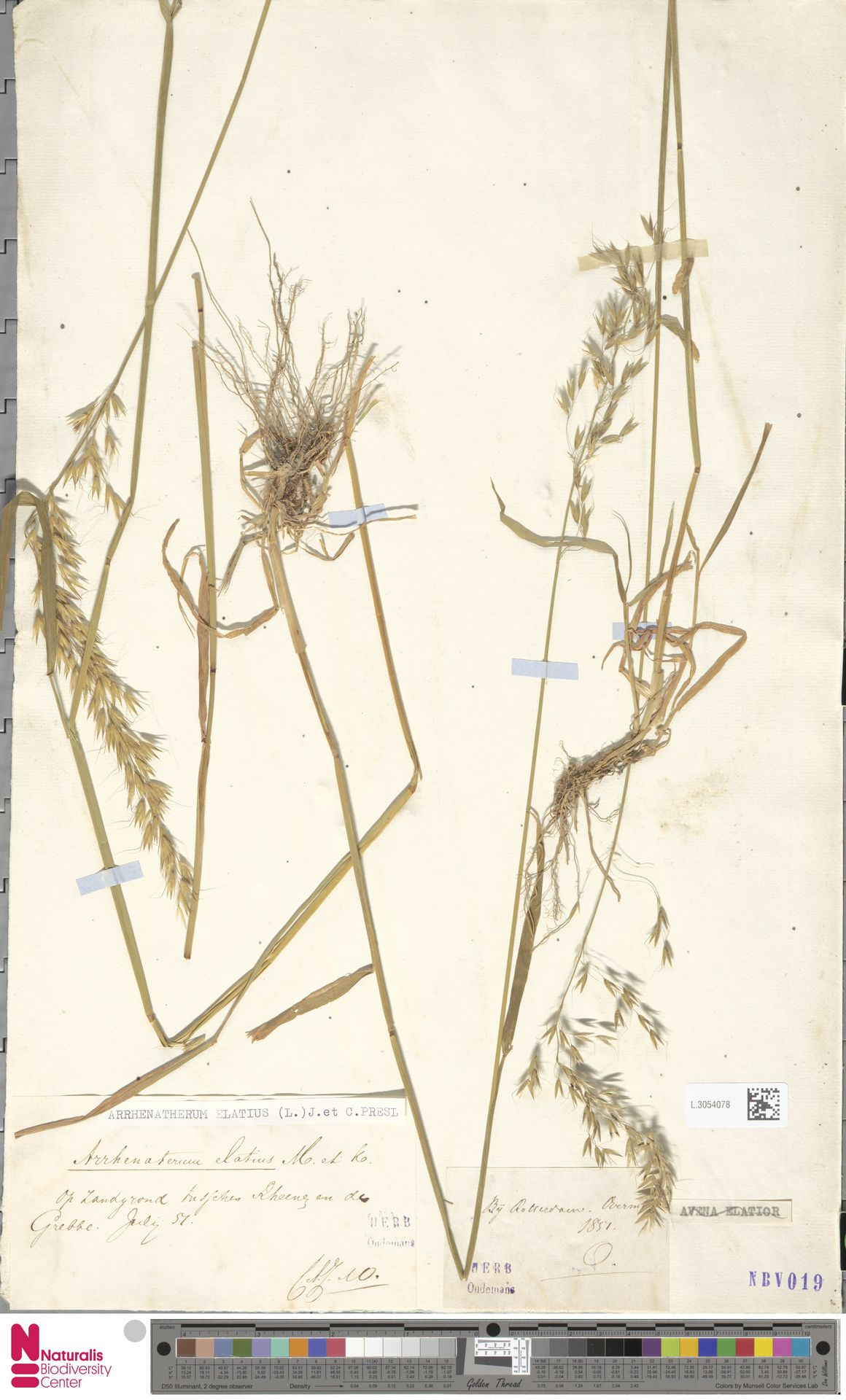 L.3054078 | Arrhenatherum elatius (L.) P.Beauv. ex J.Presl & C.Presl