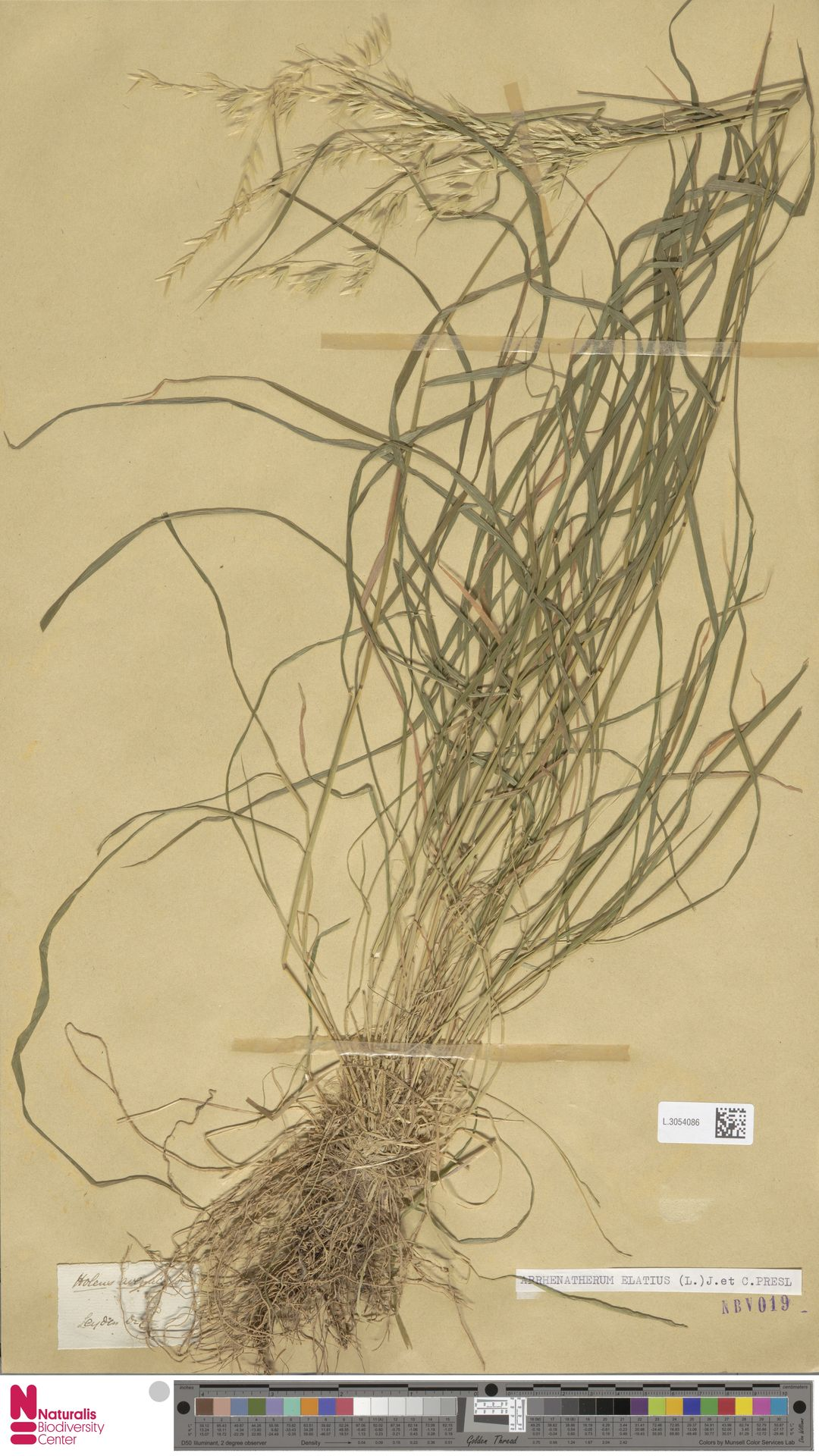 L.3054086 | Arrhenatherum elatius (L.) P.Beauv. ex J.Presl & C.Presl