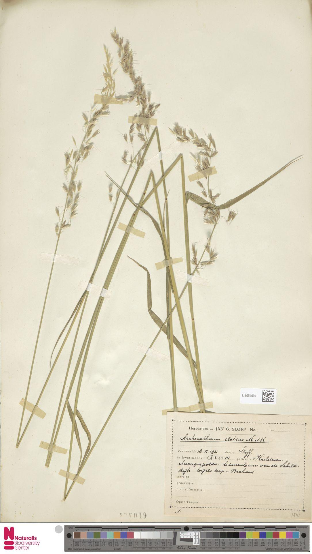 L.3054094 | Arrhenatherum elatius (L.) P.Beauv. ex J.Presl & C.Presl