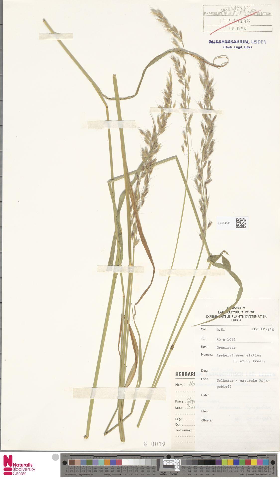 L.3054135   Arrhenatherum elatius (L.) P.Beauv. ex J.Presl & C.Presl