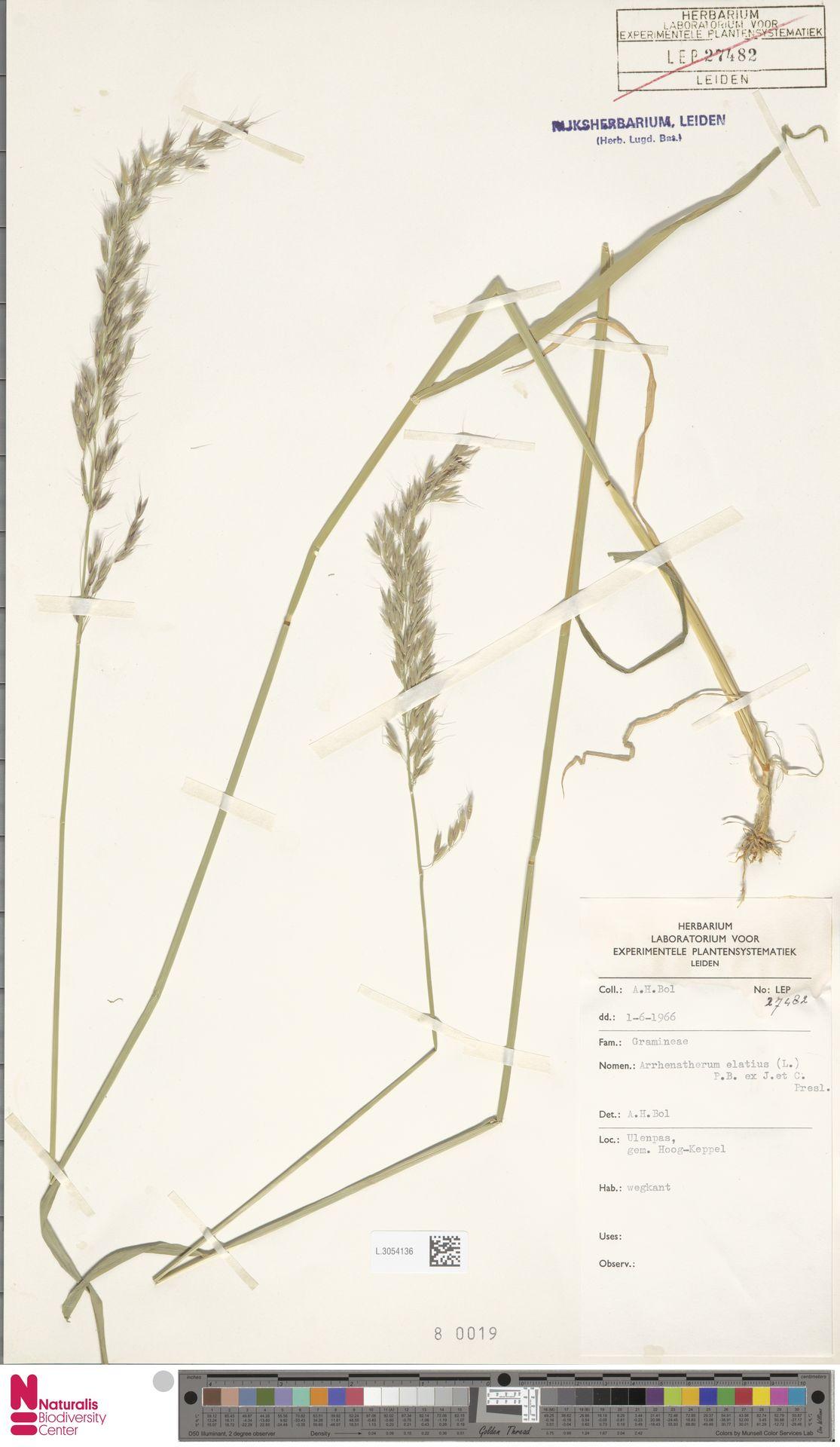 L.3054136 | Arrhenatherum elatius (L.) P.Beauv. ex J.Presl & C.Presl