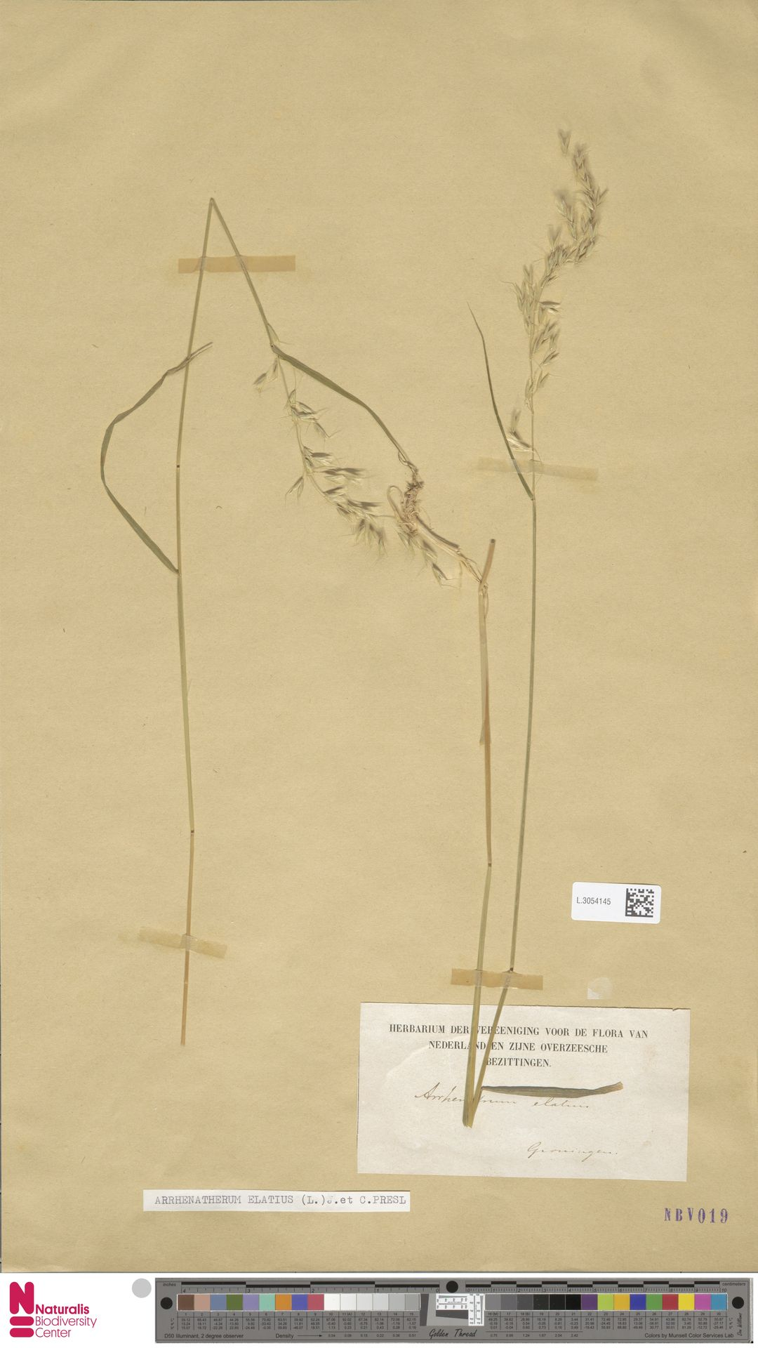 L.3054145   Arrhenatherum elatius (L.) P.Beauv. ex J.Presl & C.Presl
