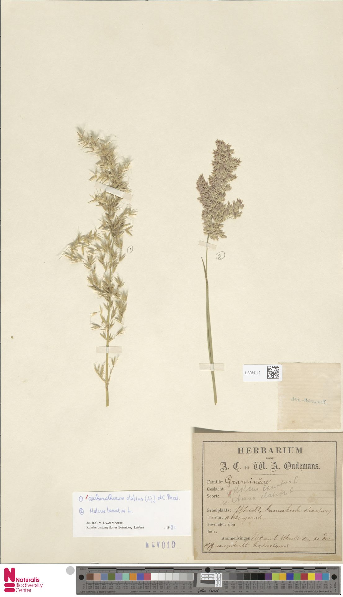 L.3054149 | Arrhenatherum elatius (L.) P.Beauv. ex J.Presl & C.Presl