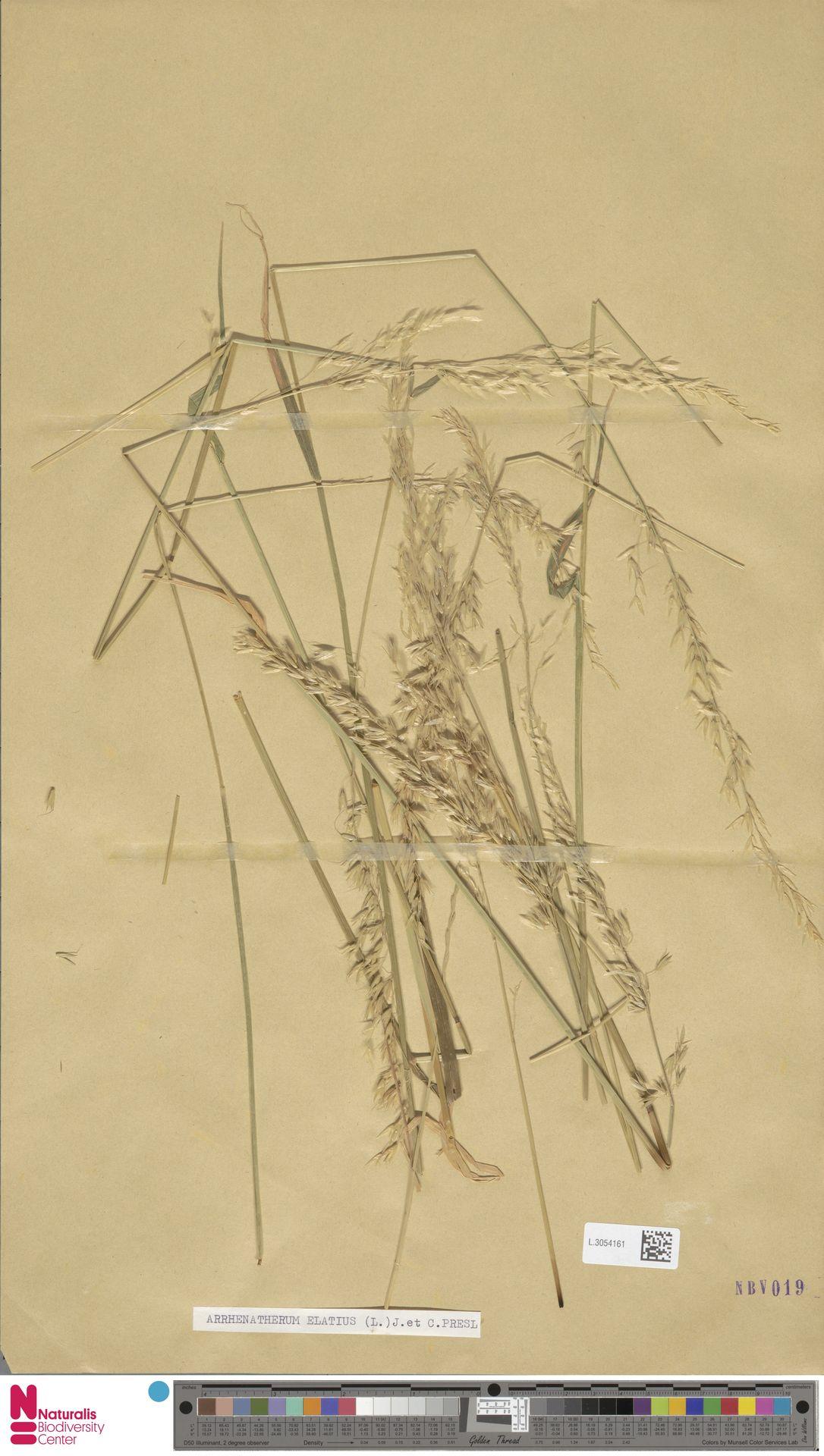 L.3054161   Arrhenatherum elatius (L.) P.Beauv. ex J.Presl & C.Presl