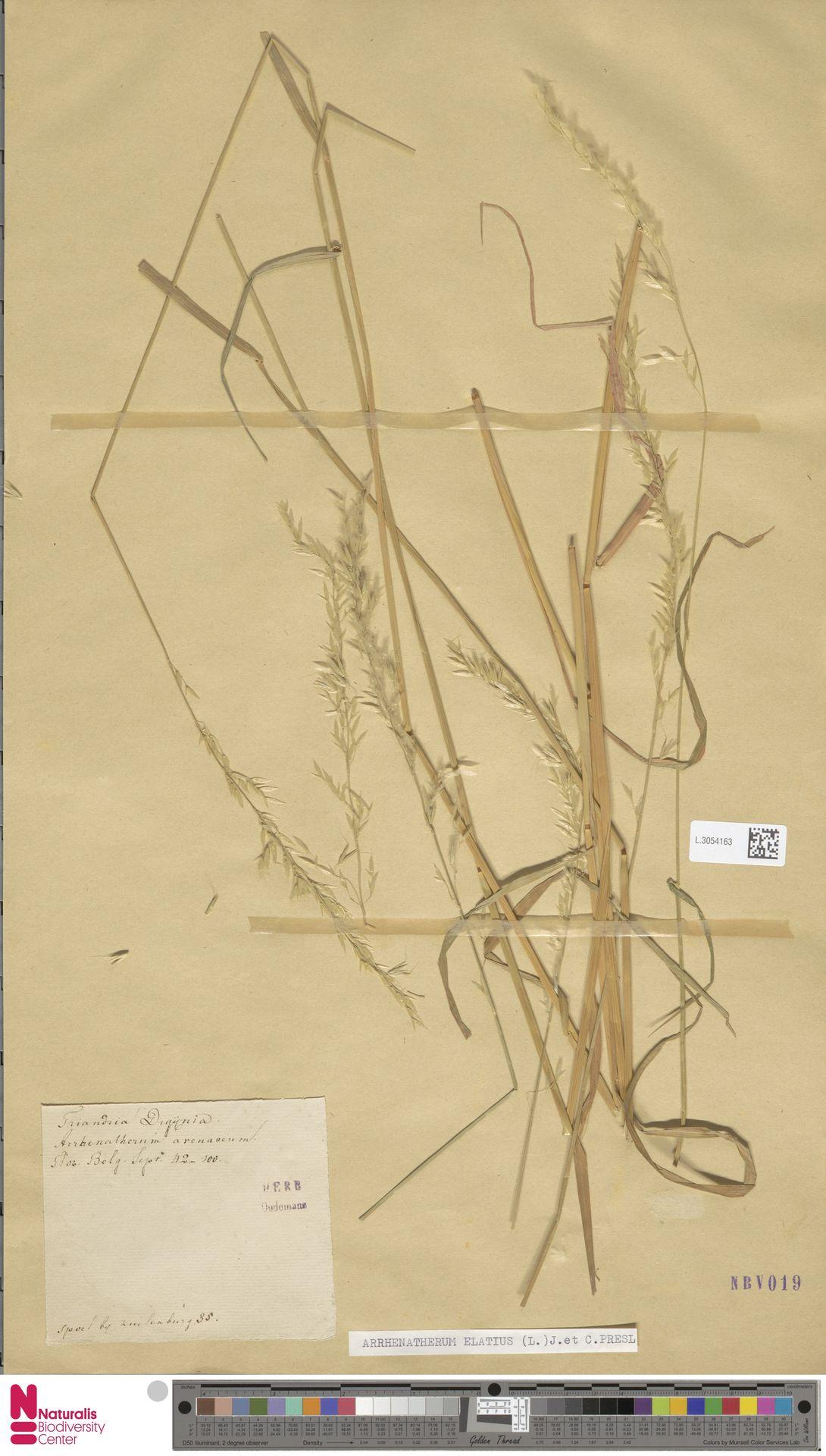 L.3054163 | Arrhenatherum elatius (L.) P.Beauv. ex J.Presl & C.Presl