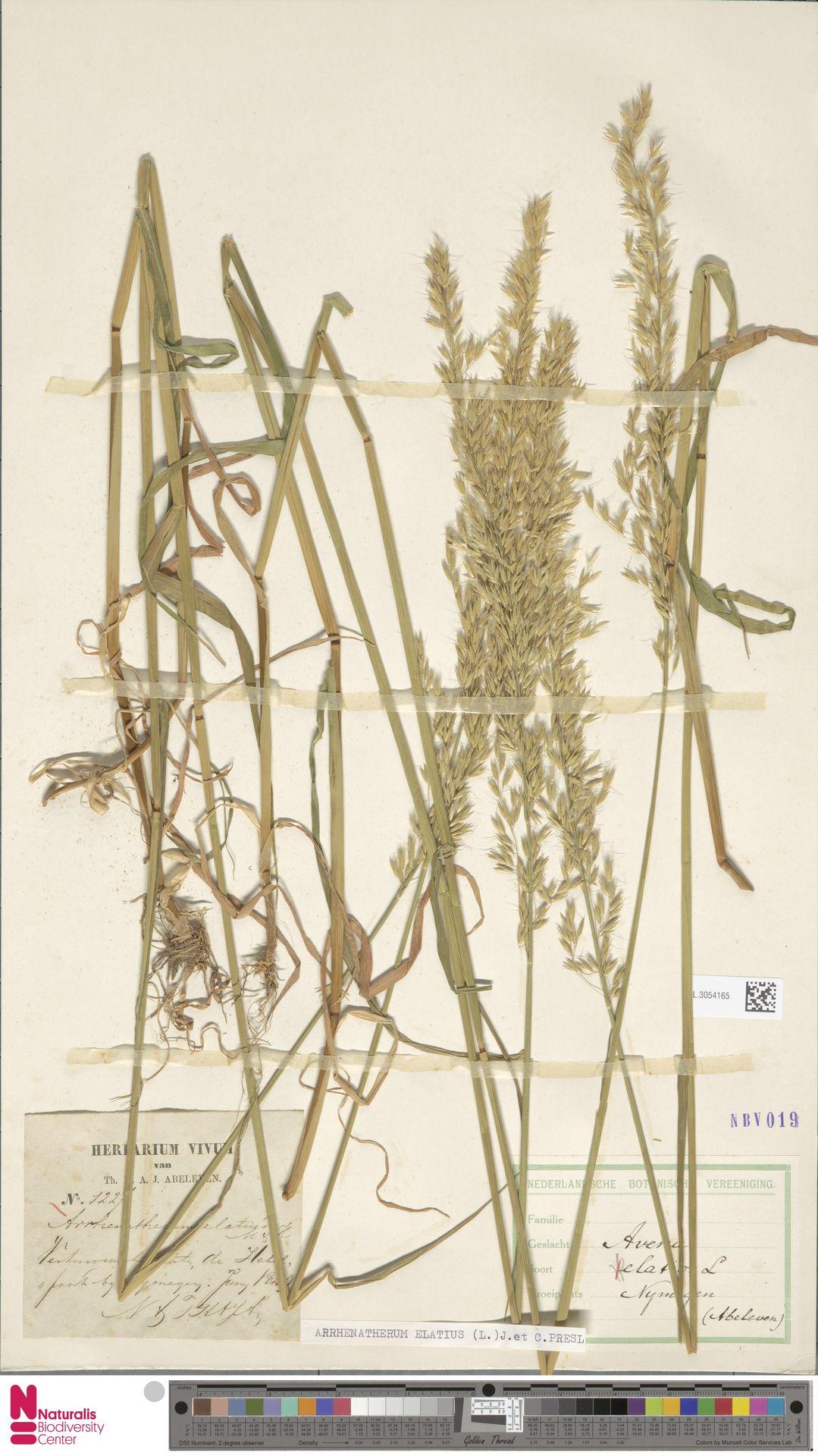 L.3054165   Arrhenatherum elatius (L.) P.Beauv. ex J.Presl & C.Presl