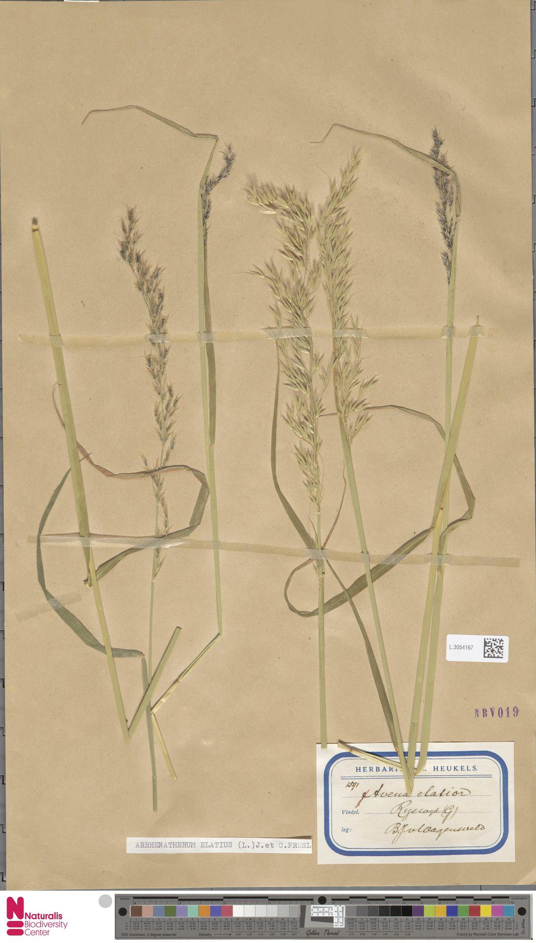 L.3054167 | Arrhenatherum elatius (L.) P.Beauv. ex J.Presl & C.Presl