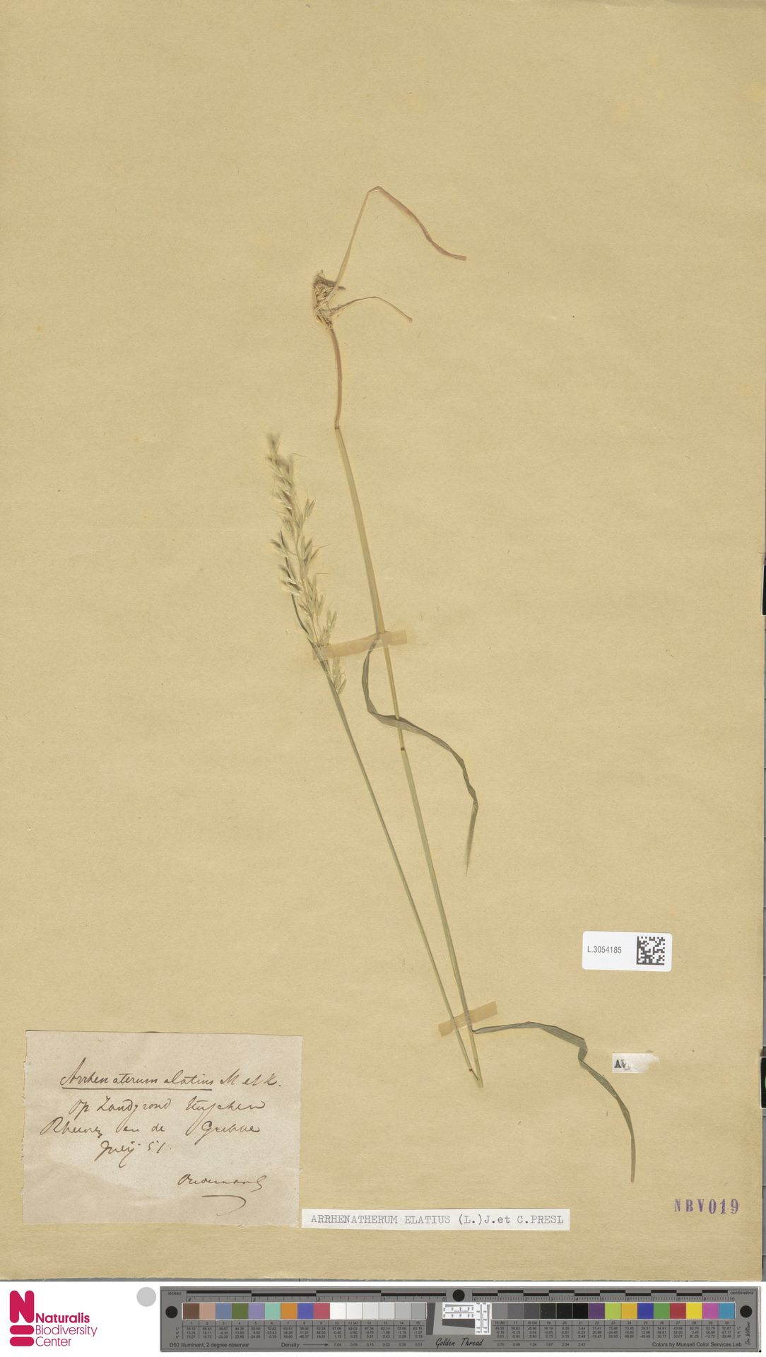 L.3054185 | Arrhenatherum elatius (L.) P.Beauv. ex J.Presl & C.Presl