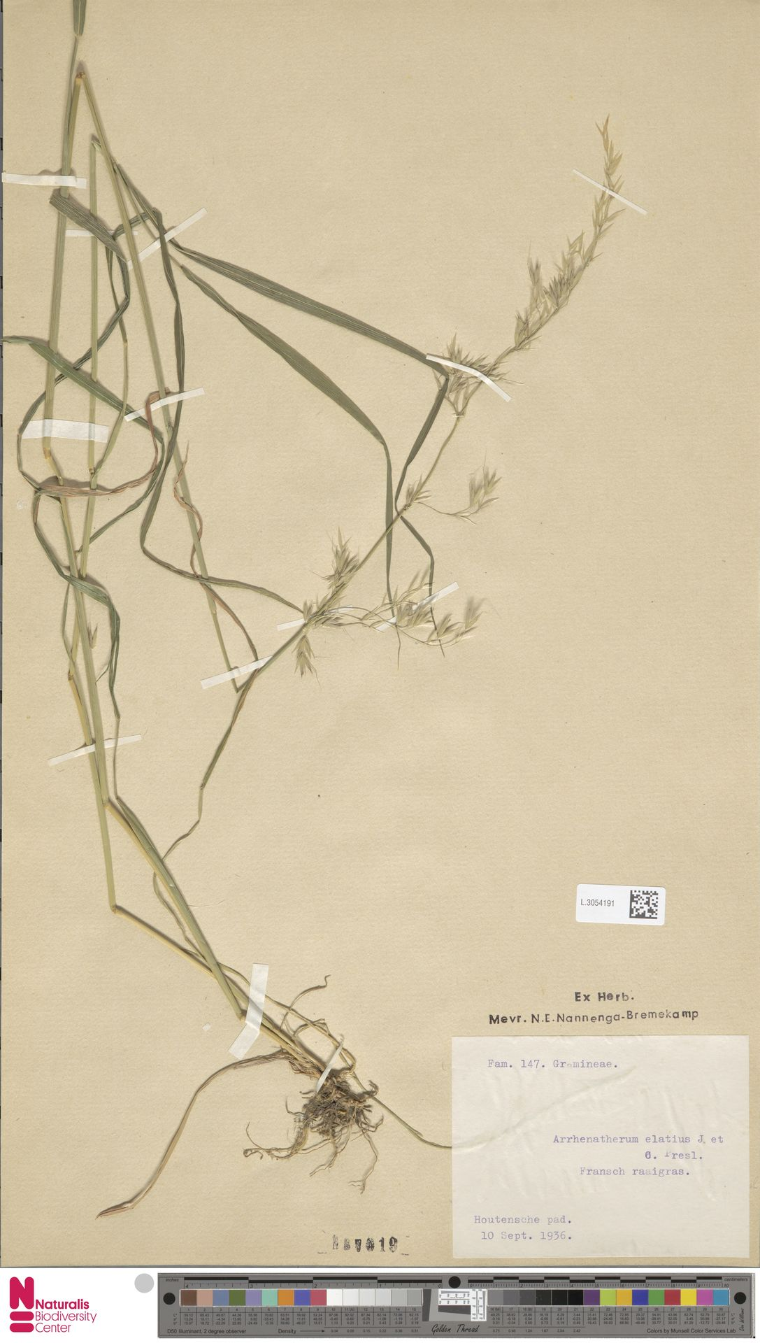 L.3054191 | Arrhenatherum elatius (L.) P.Beauv. ex J.Presl & C.Presl
