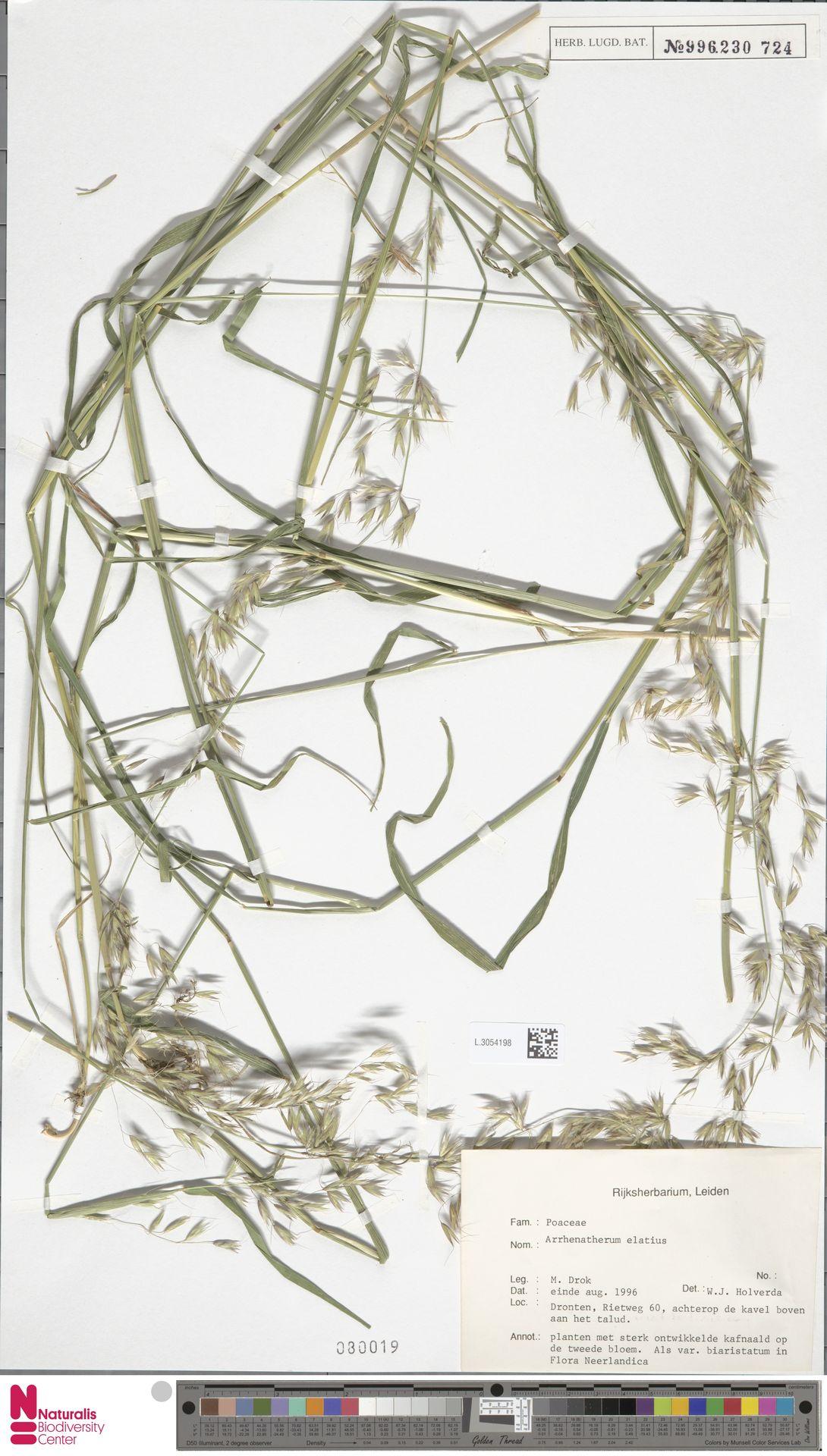 L.3054198 | Arrhenatherum elatius (L.) P.Beauv. ex J.Presl & C.Presl