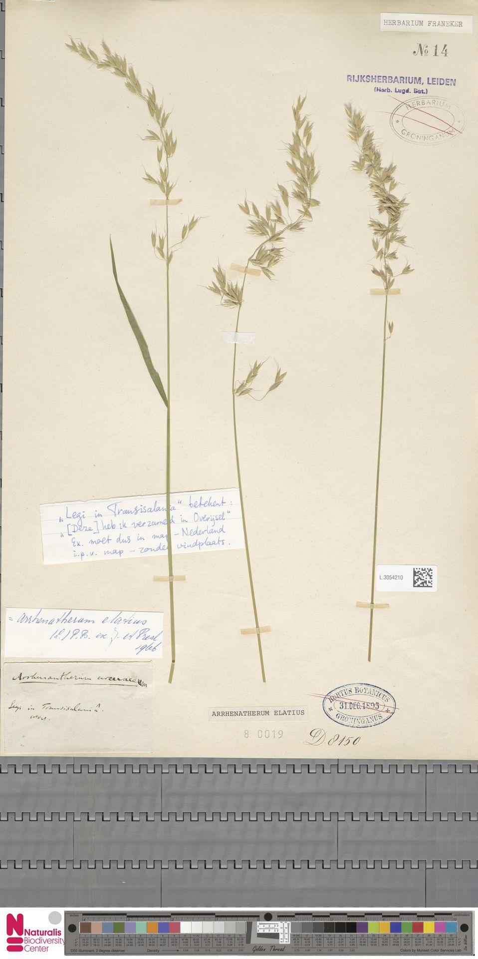 L.3054210 | Arrhenatherum elatius (L.) P.Beauv. ex J.Presl & C.Presl