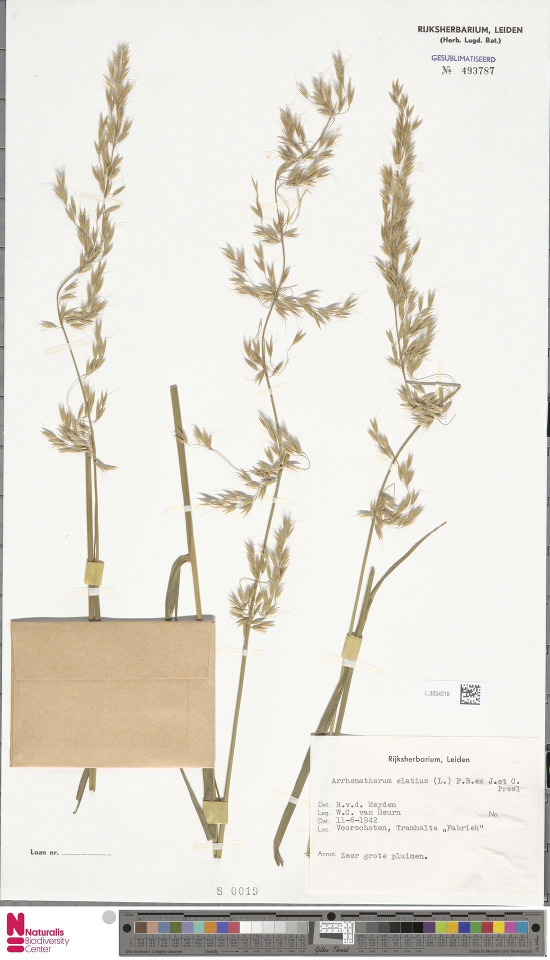 L.3054218 | Arrhenatherum elatius (L.) P.Beauv. ex J.Presl & C.Presl