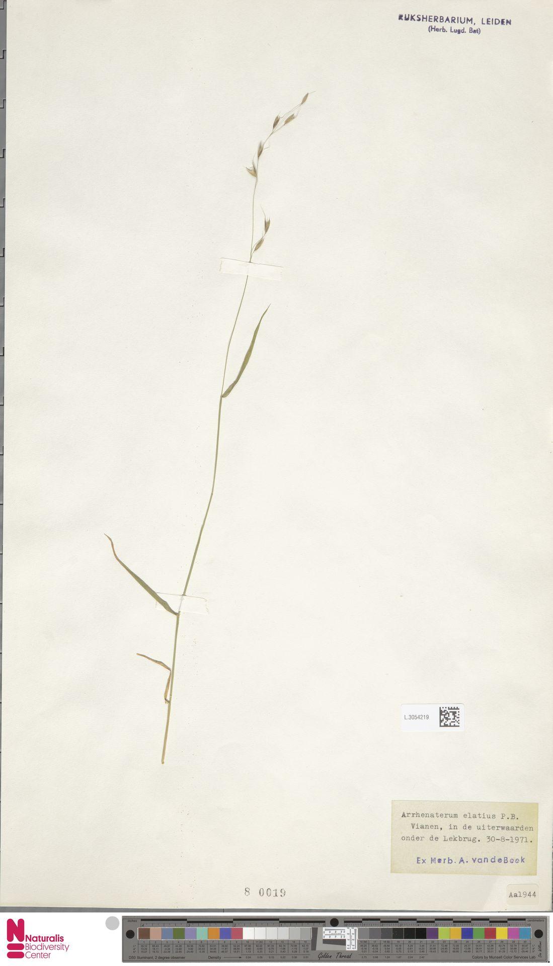 L.3054219 | Arrhenatherum elatius (L.) P.Beauv. ex J.Presl & C.Presl