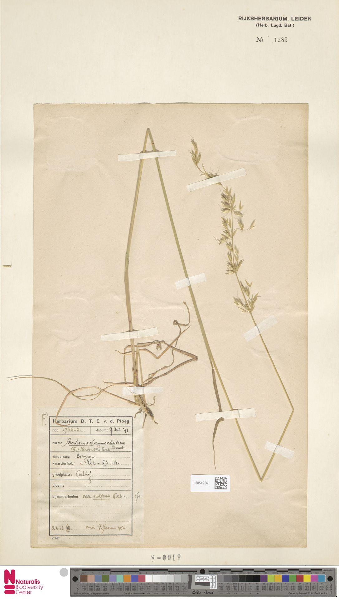 L.3054226 | Arrhenatherum elatius (L.) P.Beauv. ex J.Presl & C.Presl