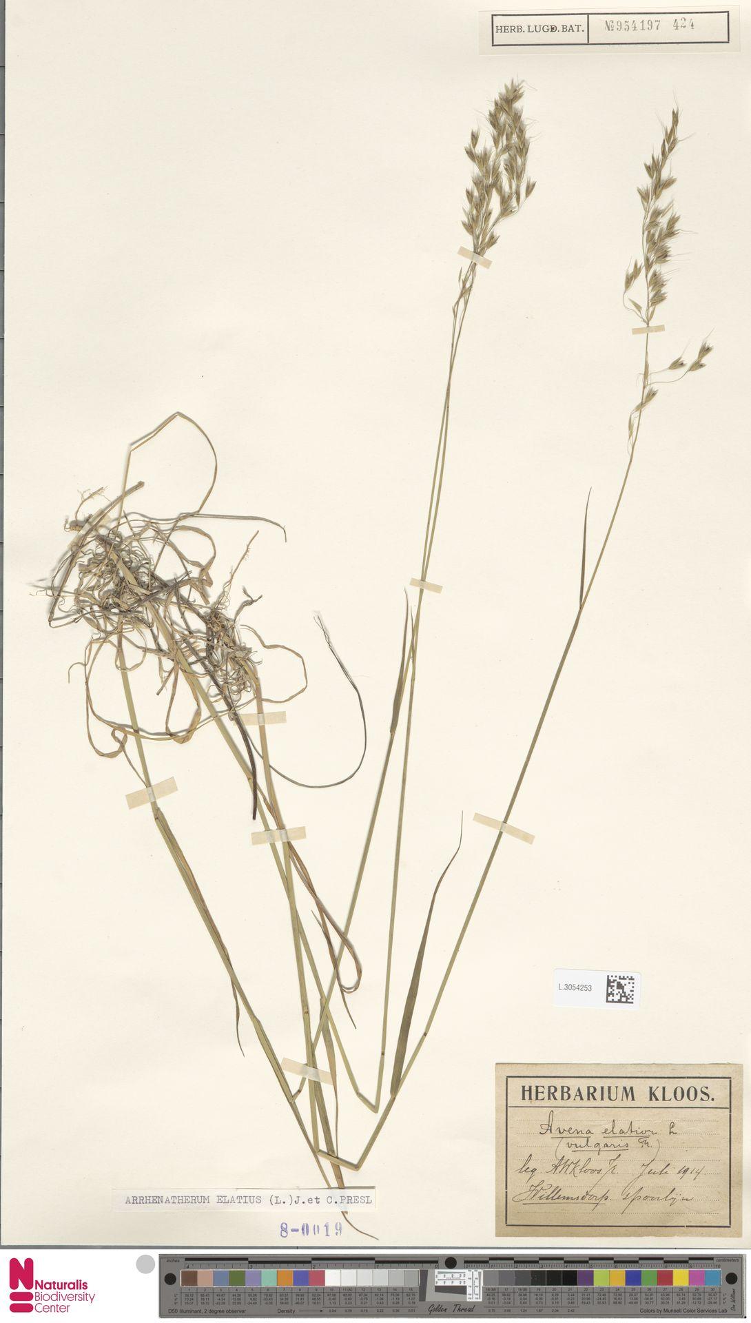 L.3054253   Arrhenatherum elatius (L.) P.Beauv. ex J.Presl & C.Presl