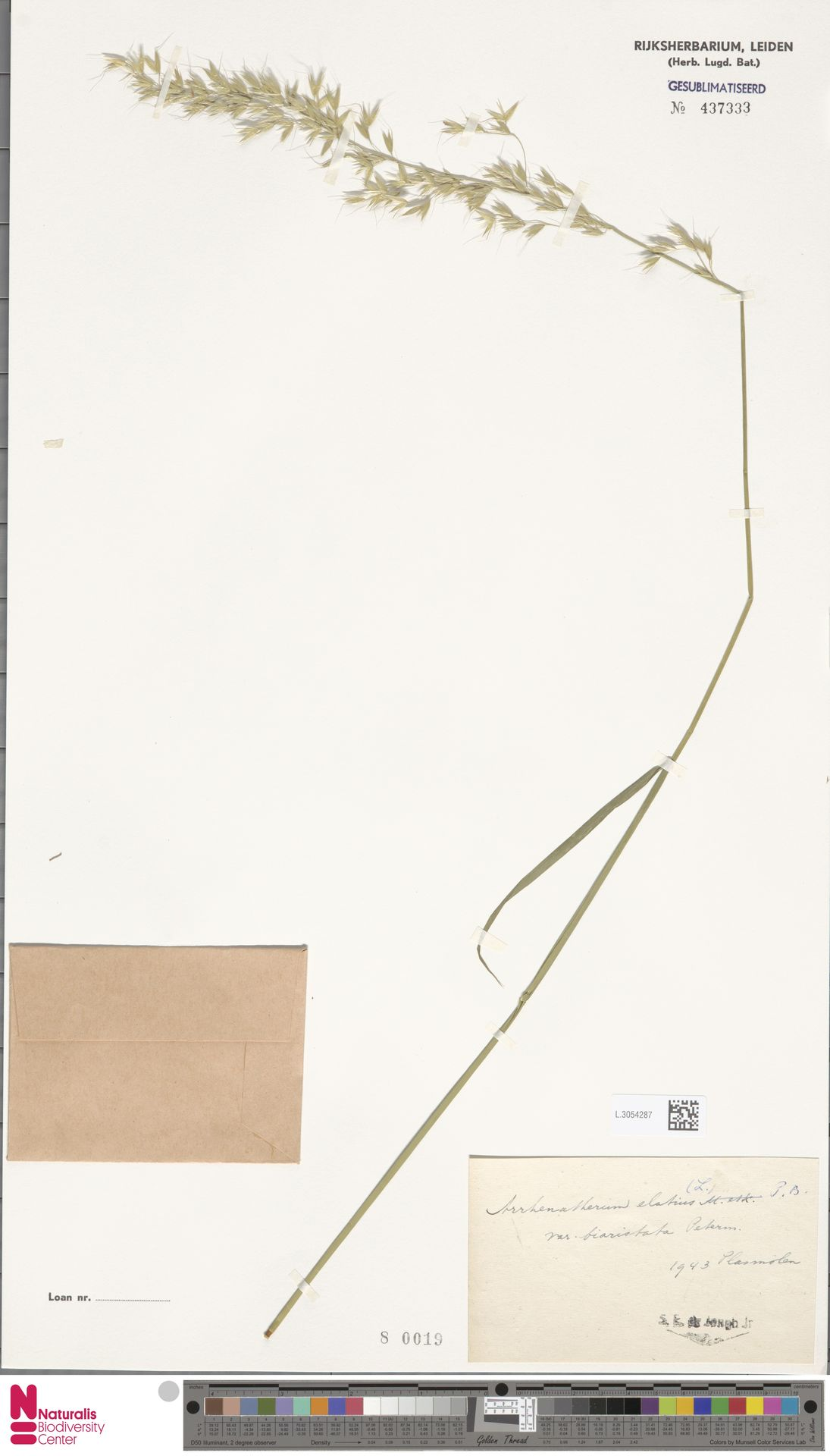 L.3054287 | Arrhenatherum elatius (L.) P.Beauv. ex J.Presl & C.Presl