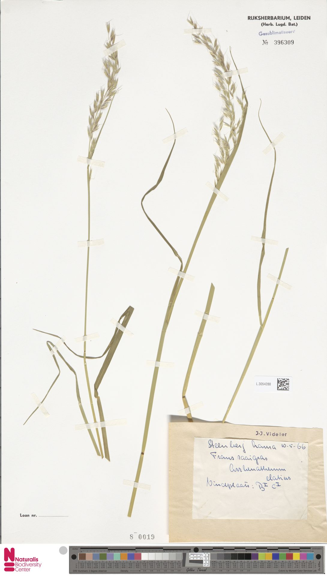 L.3054288   Arrhenatherum elatius (L.) P.Beauv. ex J.Presl & C.Presl