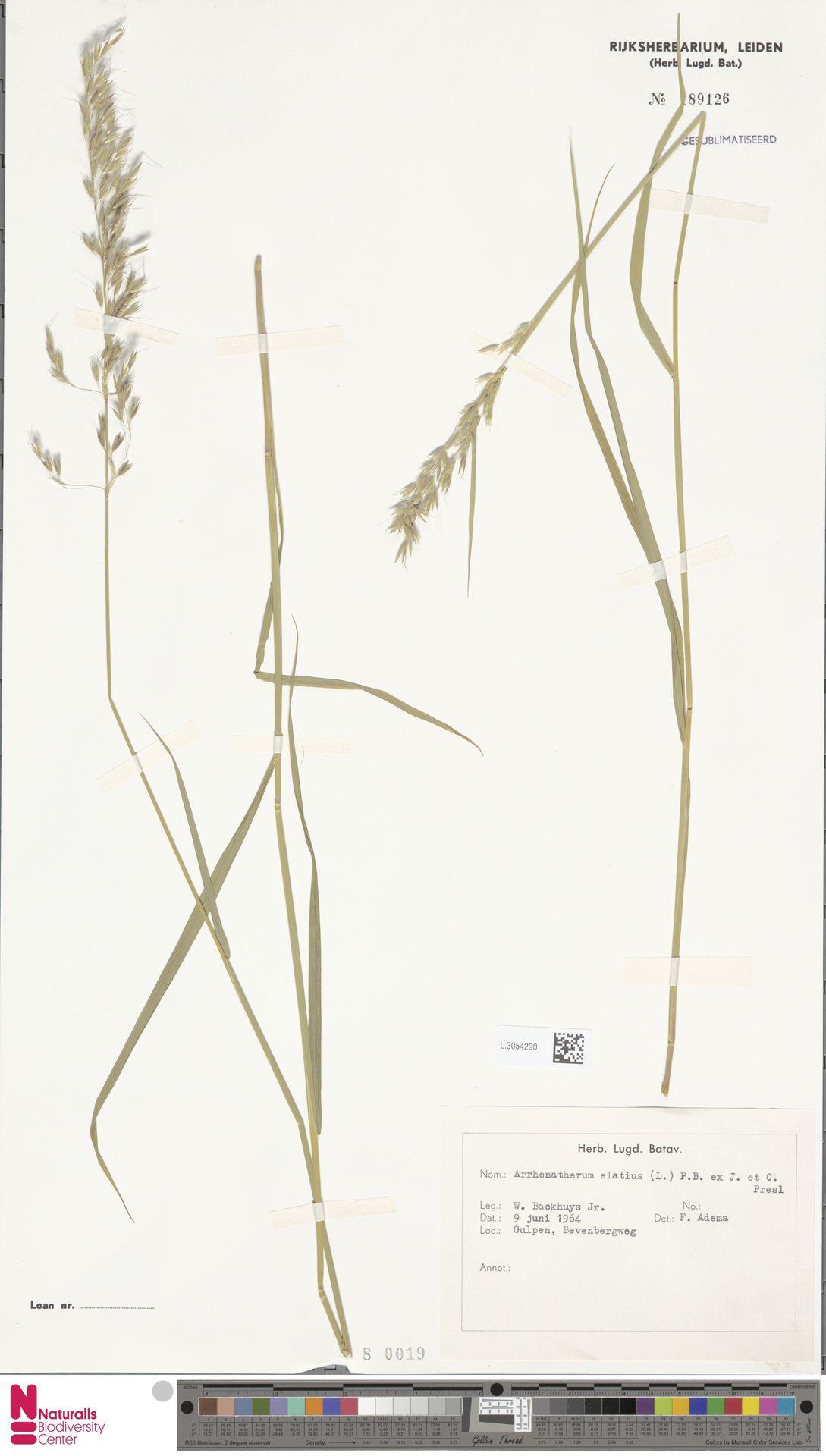 L.3054290 | Arrhenatherum elatius (L.) P.Beauv. ex J.Presl & C.Presl