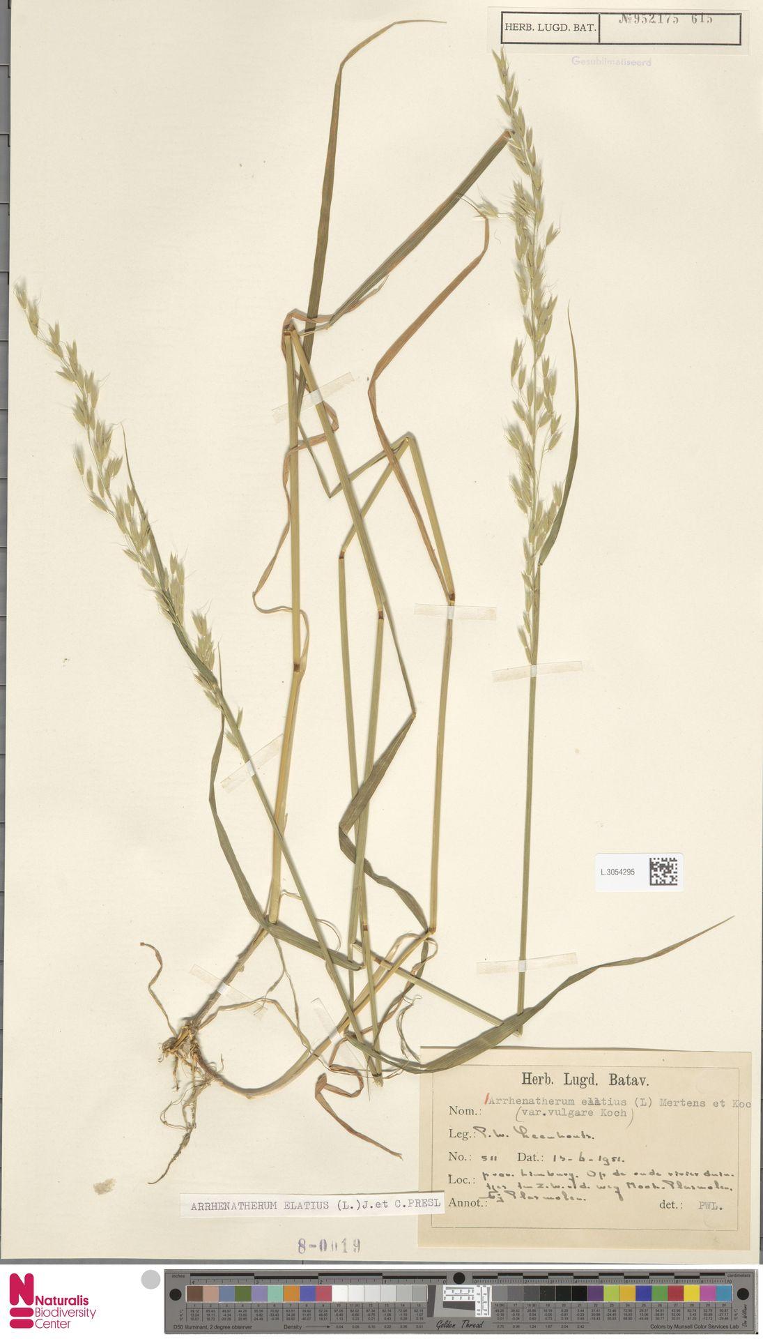 L.3054295 | Arrhenatherum elatius (L.) P.Beauv. ex J.Presl & C.Presl