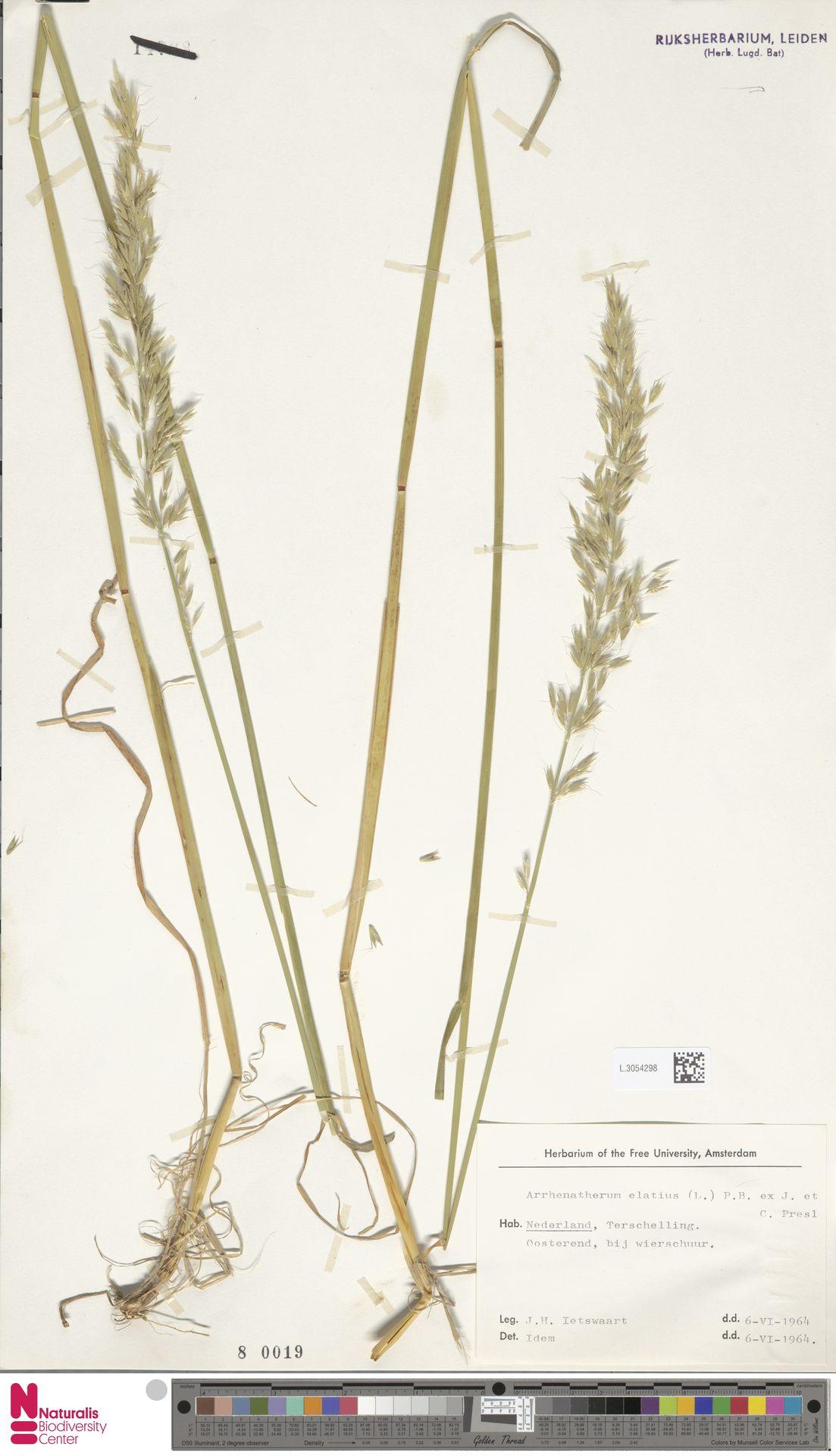 L.3054298   Arrhenatherum elatius (L.) P.Beauv. ex J.Presl & C.Presl