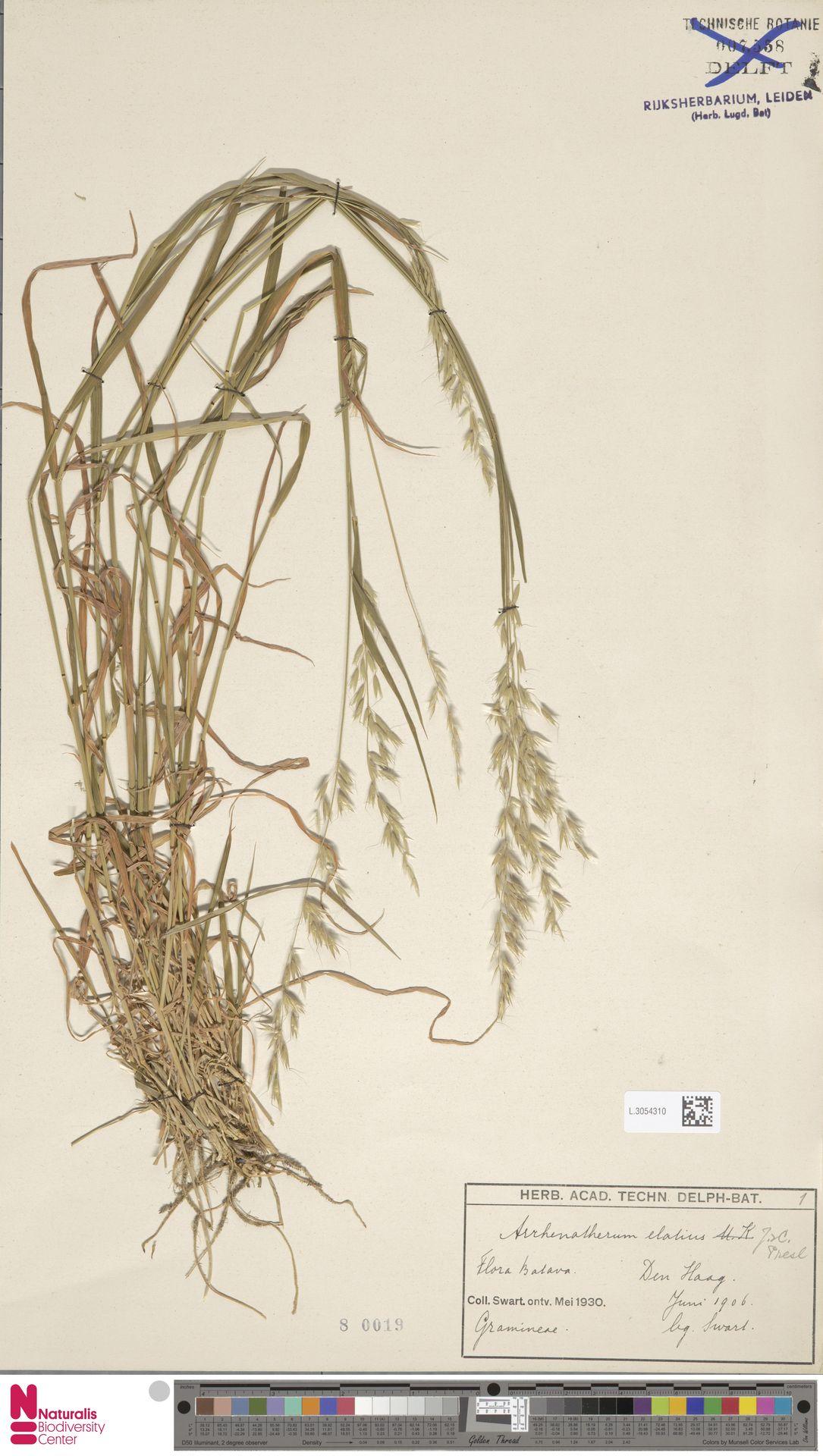 L.3054310   Arrhenatherum elatius (L.) P.Beauv. ex J.Presl & C.Presl