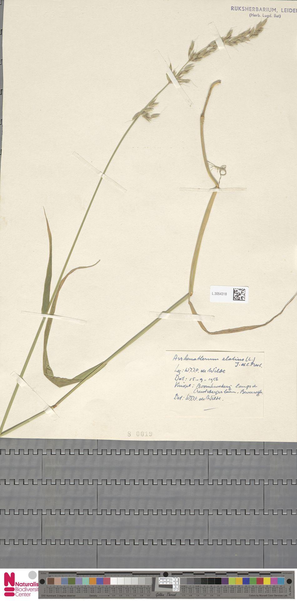L.3054318 | Arrhenatherum elatius (L.) P.Beauv. ex J.Presl & C.Presl