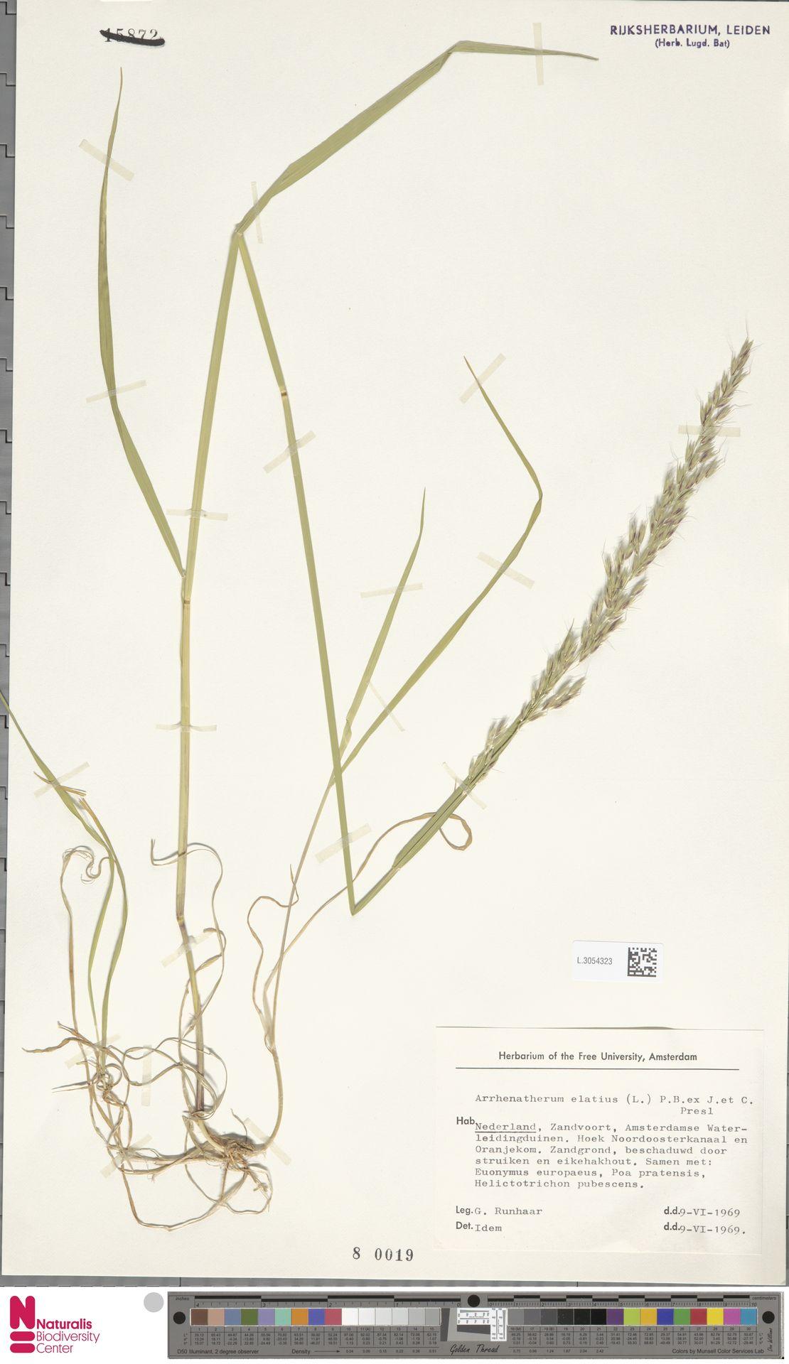L.3054323 | Arrhenatherum elatius (L.) P.Beauv. ex J.Presl & C.Presl