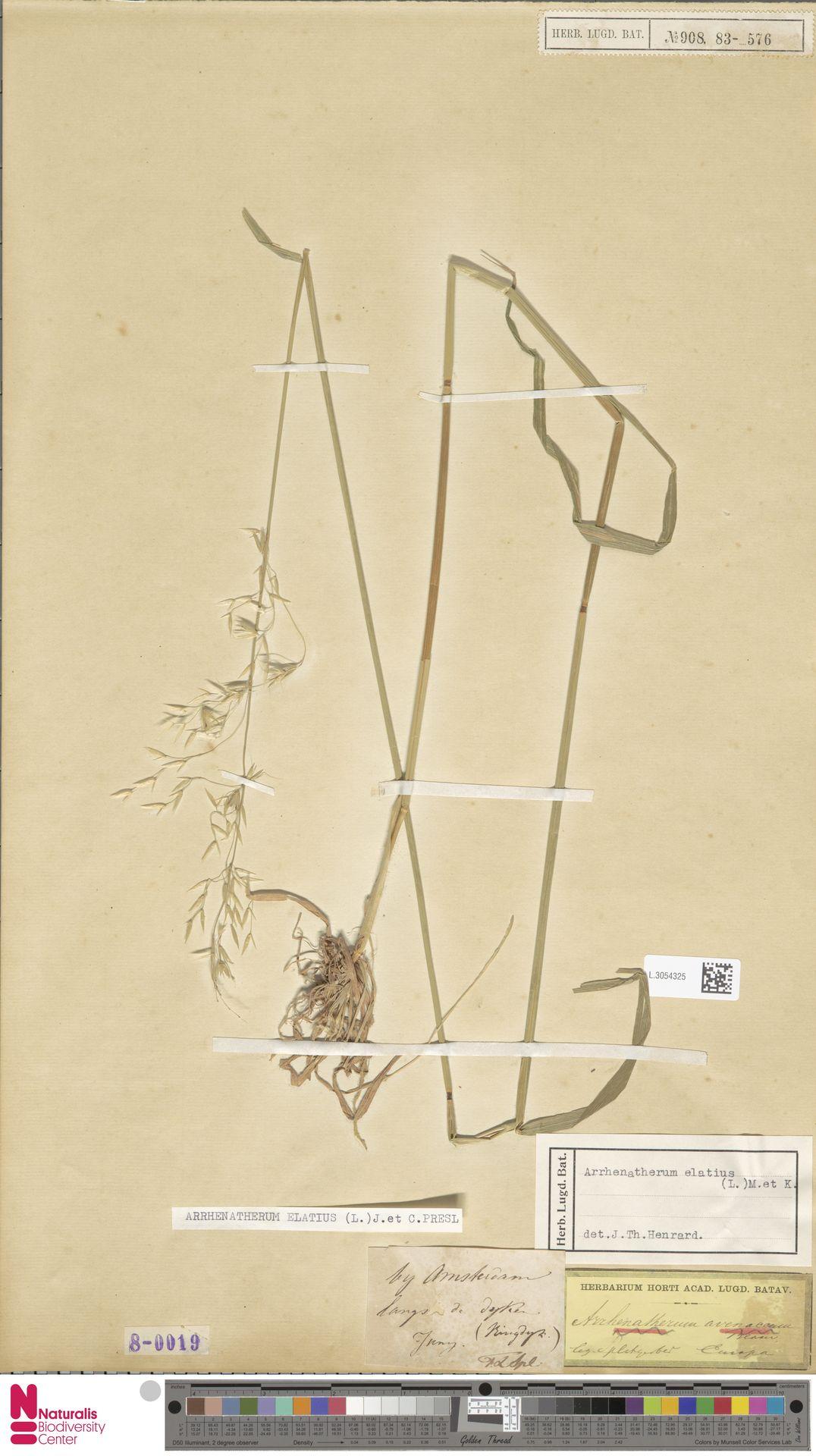 L.3054325 | Arrhenatherum elatius (L.) P.Beauv. ex J.Presl & C.Presl