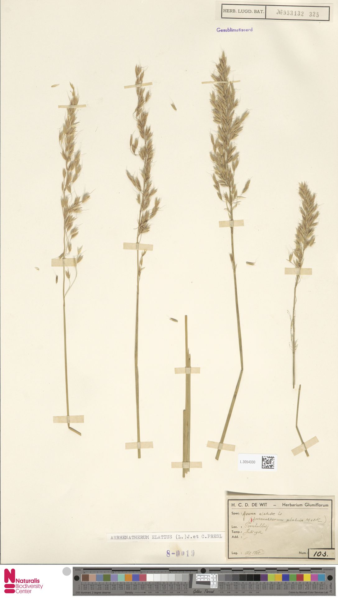 L.3054330 | Arrhenatherum elatius (L.) P.Beauv. ex J.Presl & C.Presl