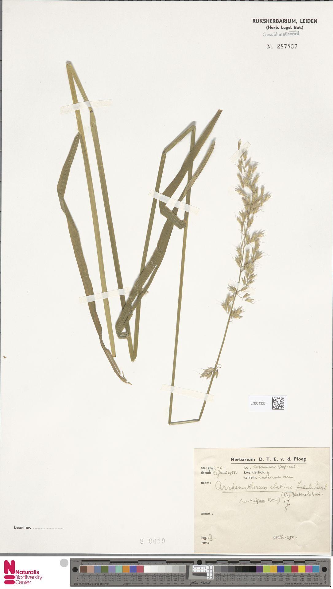 L.3054333 | Arrhenatherum elatius (L.) P.Beauv. ex J.Presl & C.Presl
