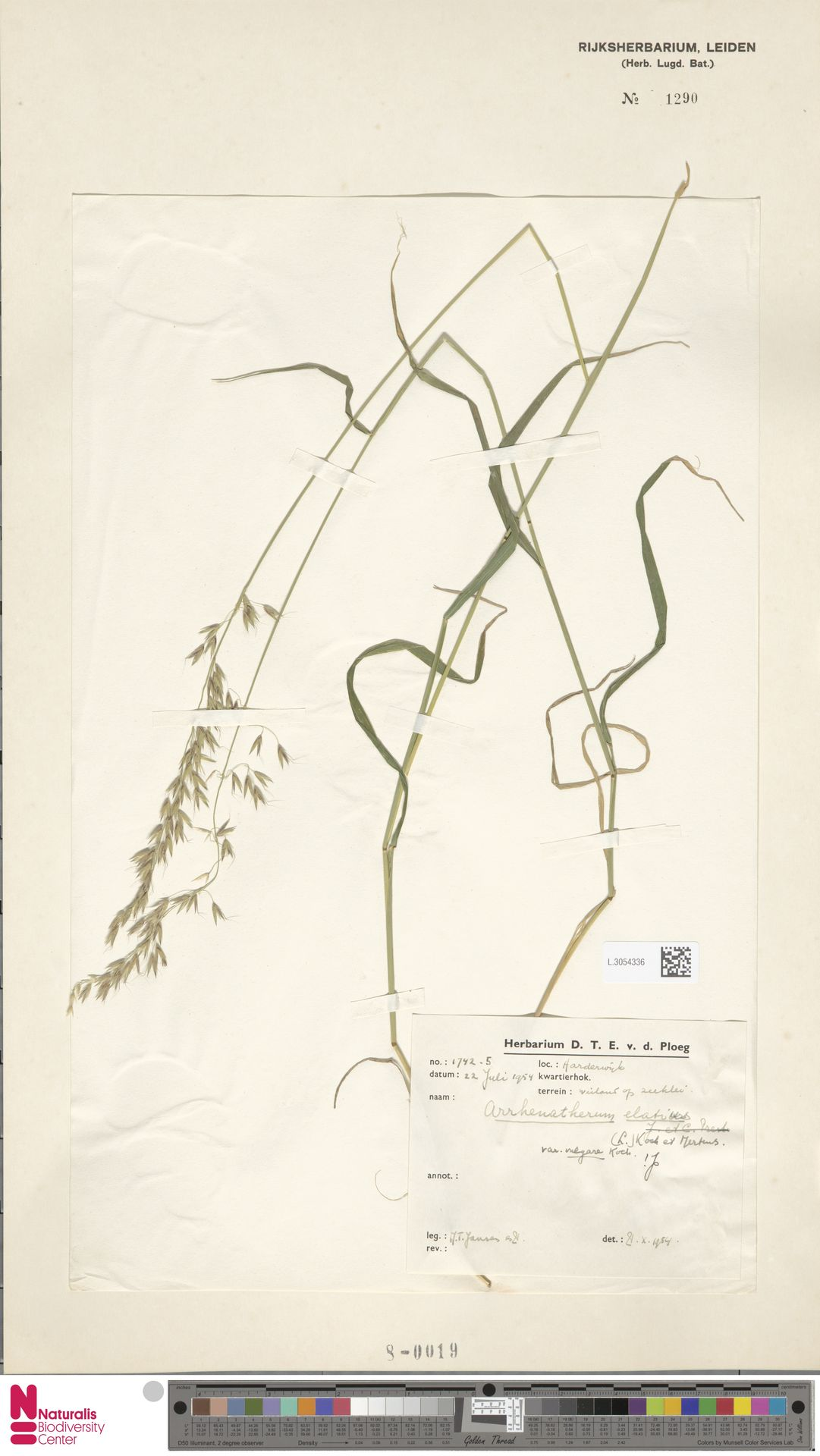 L.3054336 | Arrhenatherum elatius (L.) P.Beauv. ex J.Presl & C.Presl