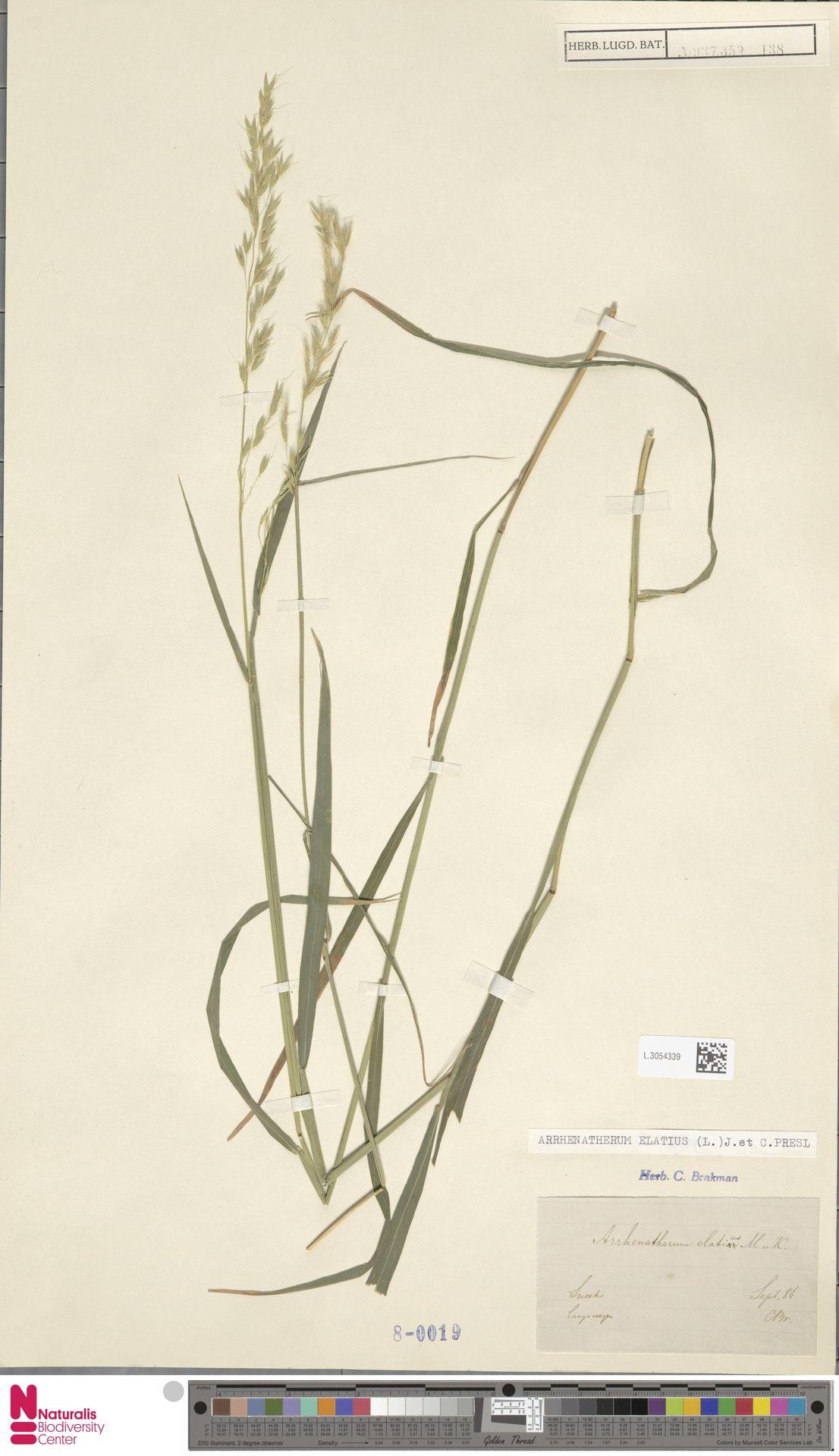 L.3054339   Arrhenatherum elatius (L.) P.Beauv. ex J.Presl & C.Presl
