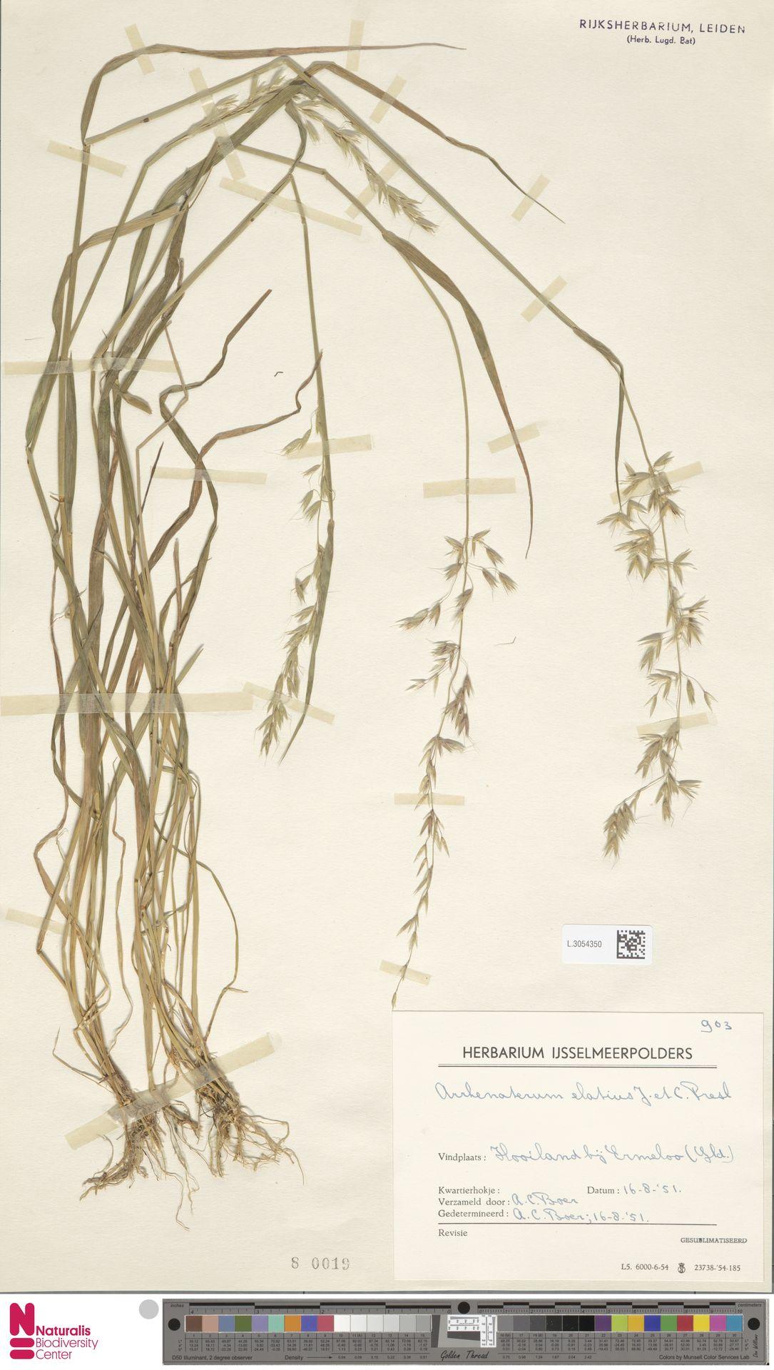 L.3054350 | Arrhenatherum elatius (L.) P.Beauv. ex J.Presl & C.Presl