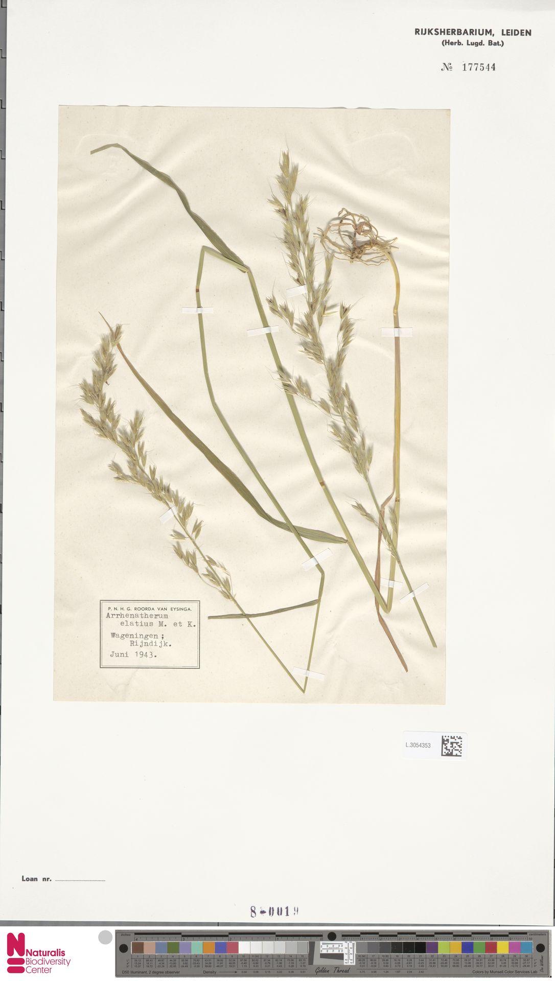 L.3054353 | Arrhenatherum elatius (L.) P.Beauv. ex J.Presl & C.Presl