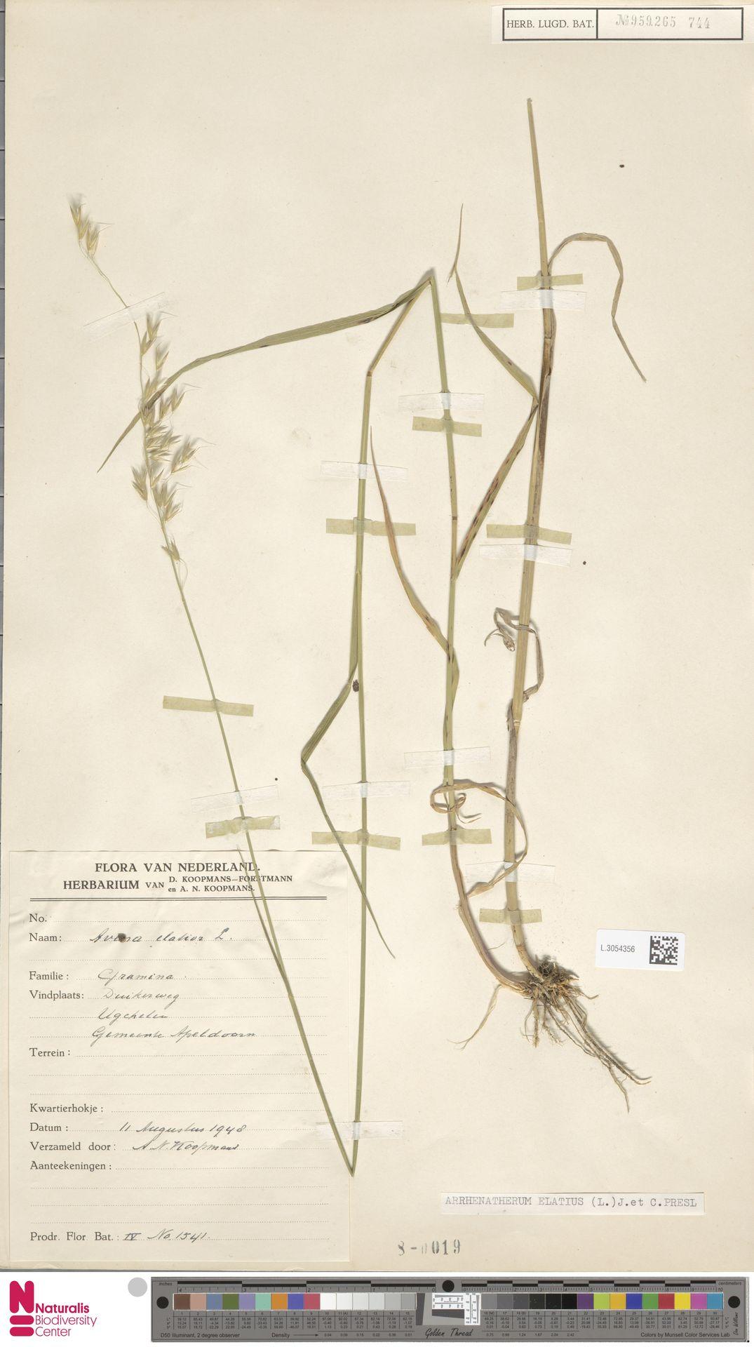 L.3054356   Arrhenatherum elatius (L.) P.Beauv. ex J.Presl & C.Presl