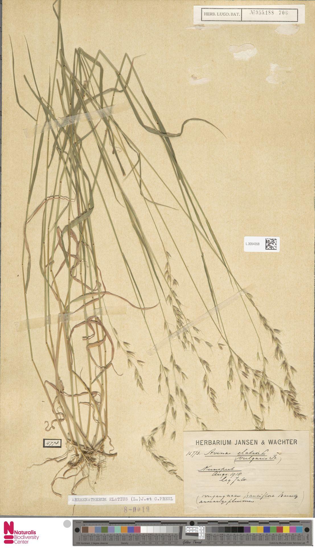 L.3054358 | Arrhenatherum elatius (L.) P.Beauv. ex J.Presl & C.Presl