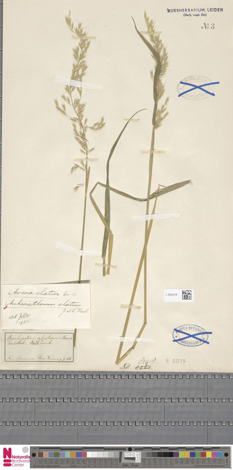 L.3054378 | Arrhenatherum elatius (L.) P.Beauv. ex J.Presl & C.Presl