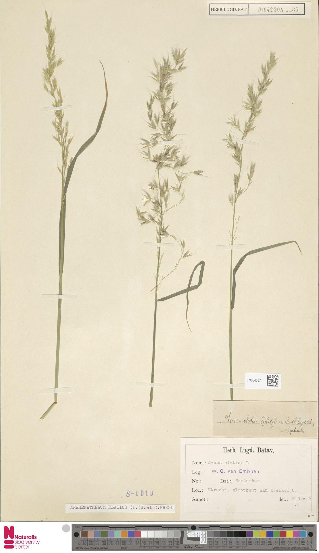 L.3054387 | Arrhenatherum elatius (L.) P.Beauv. ex J.Presl & C.Presl