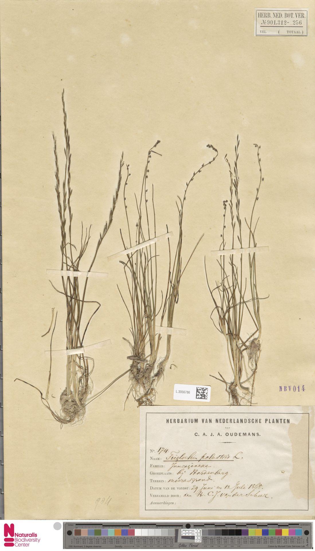 L.3056786   Triglochin palustris L.