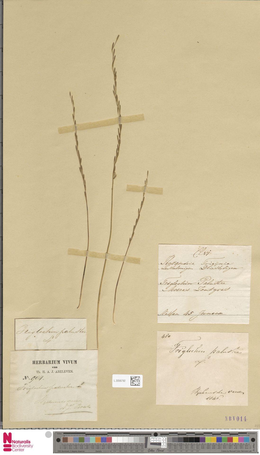 L.3056792 | Triglochin palustris L.