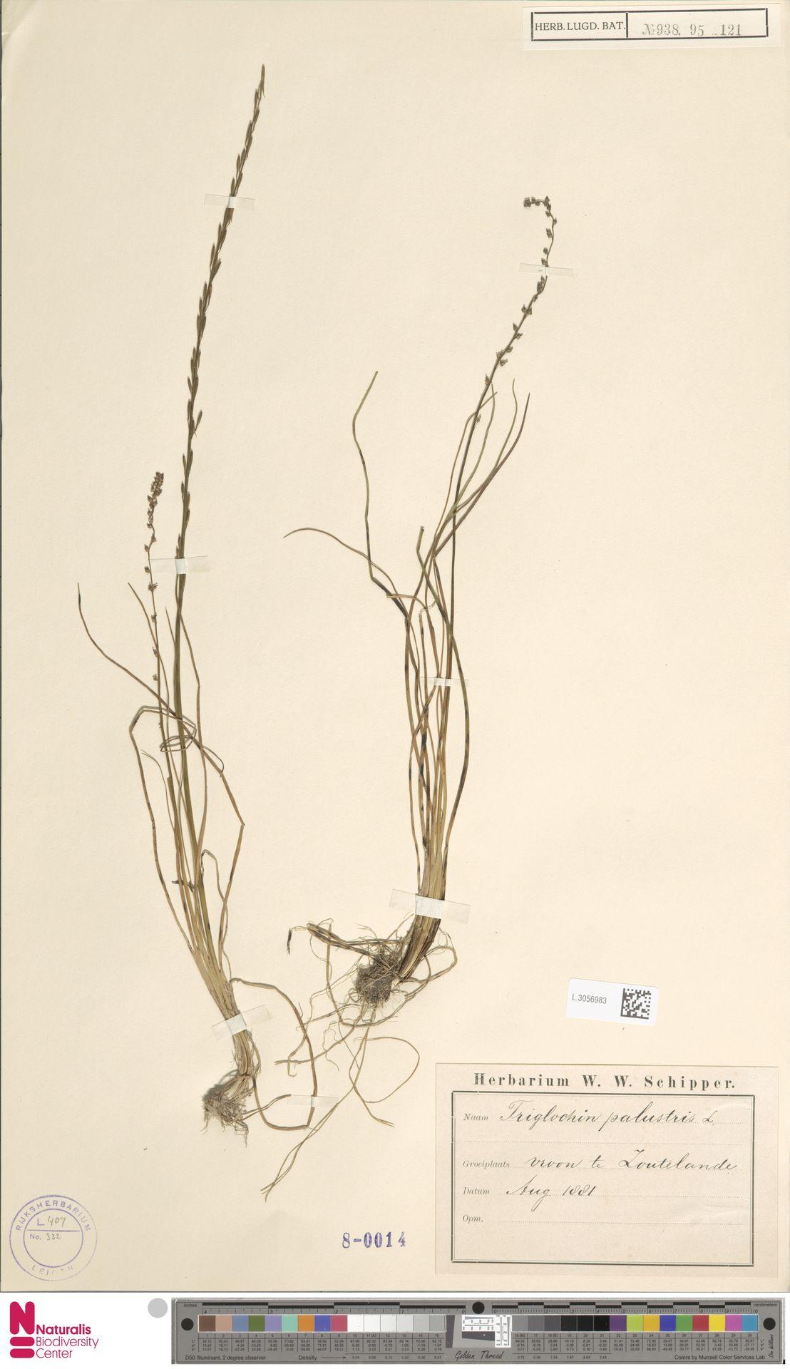 L.3056983 | Triglochin palustris L.